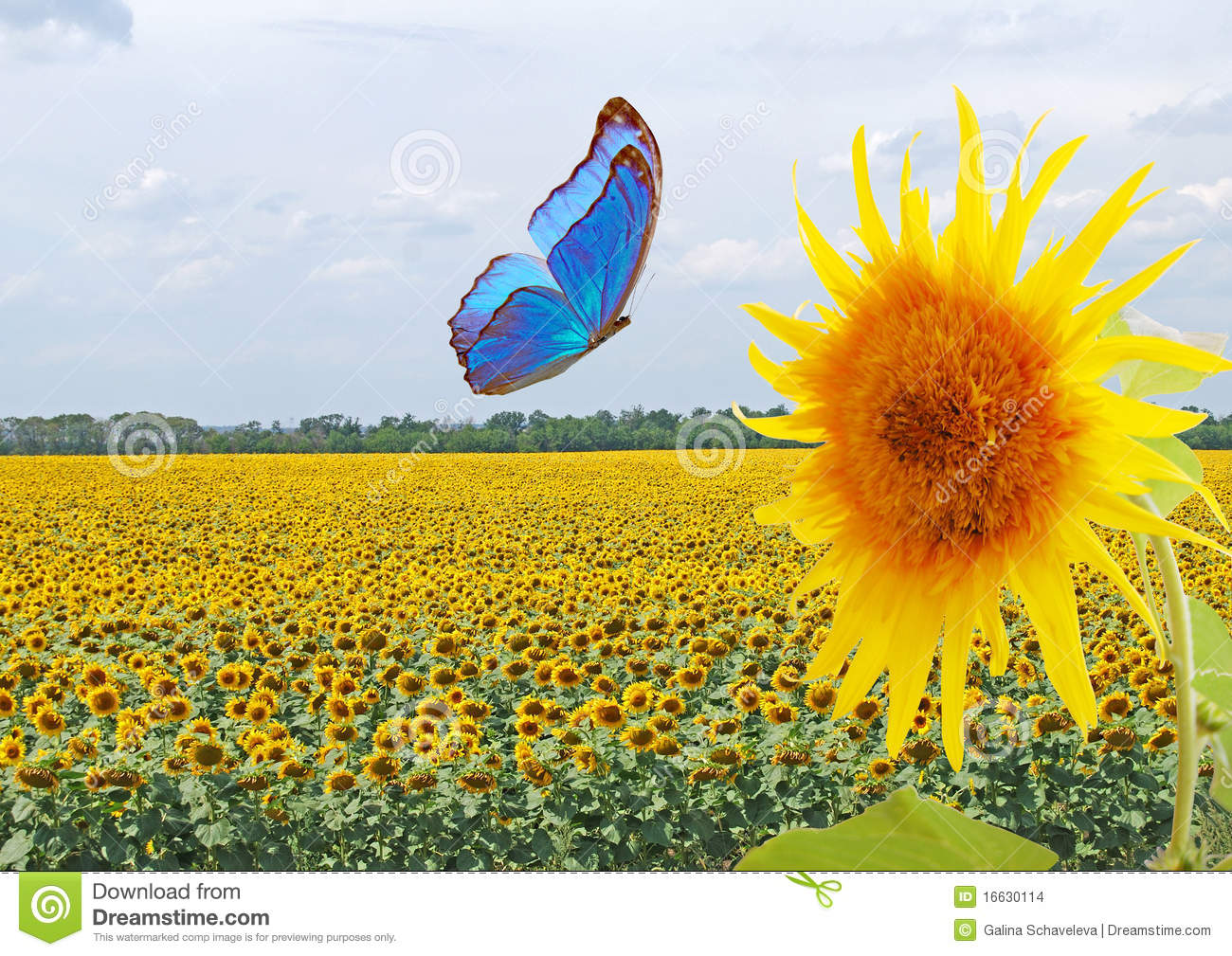 Blue Butterfly And Sunflower Stock Images - Image: 16630114
