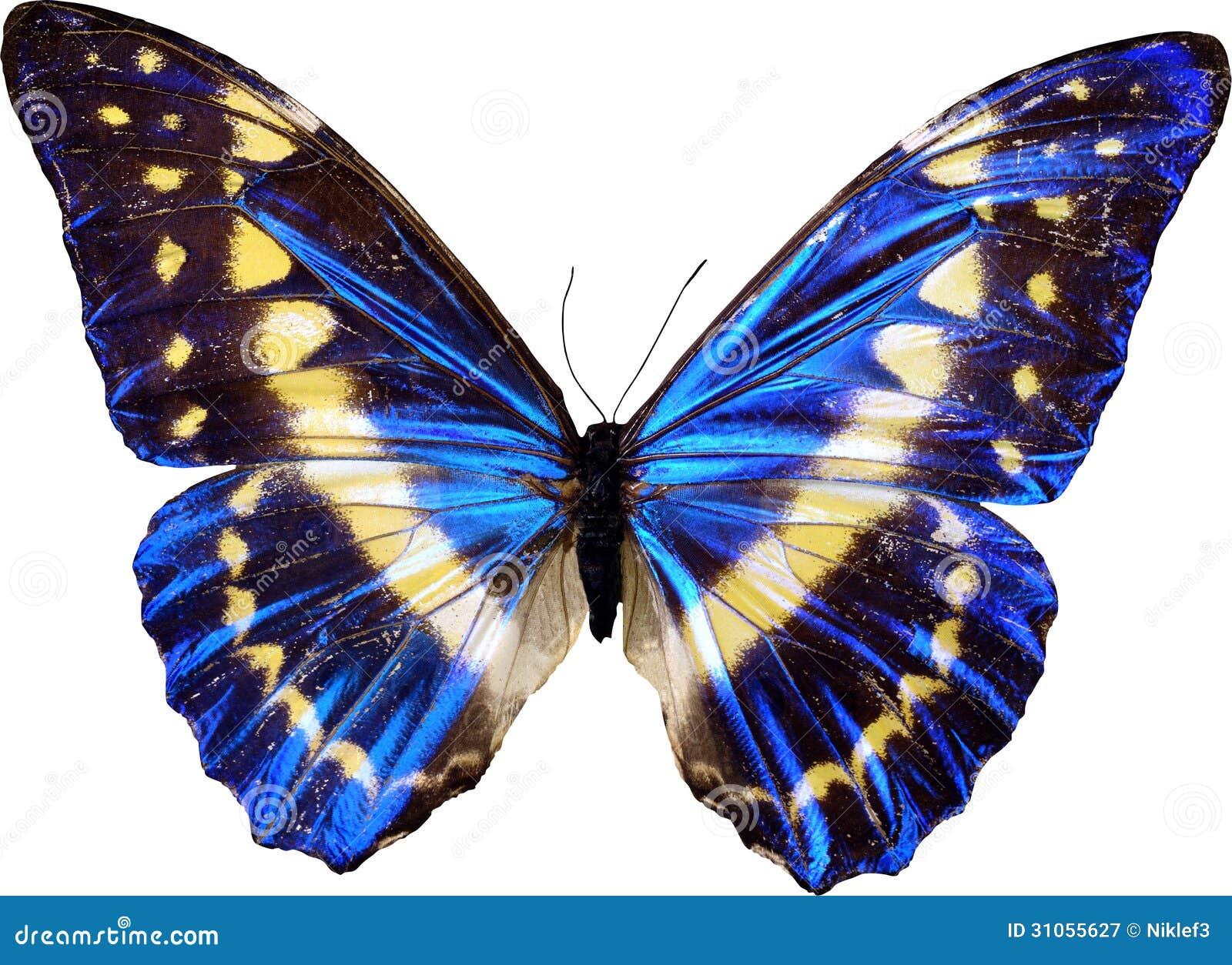 Blue butterfly Butterfly