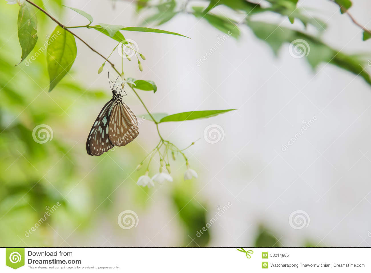 Blue Butterfly On White Flower Stock Image Image Of Color Benth