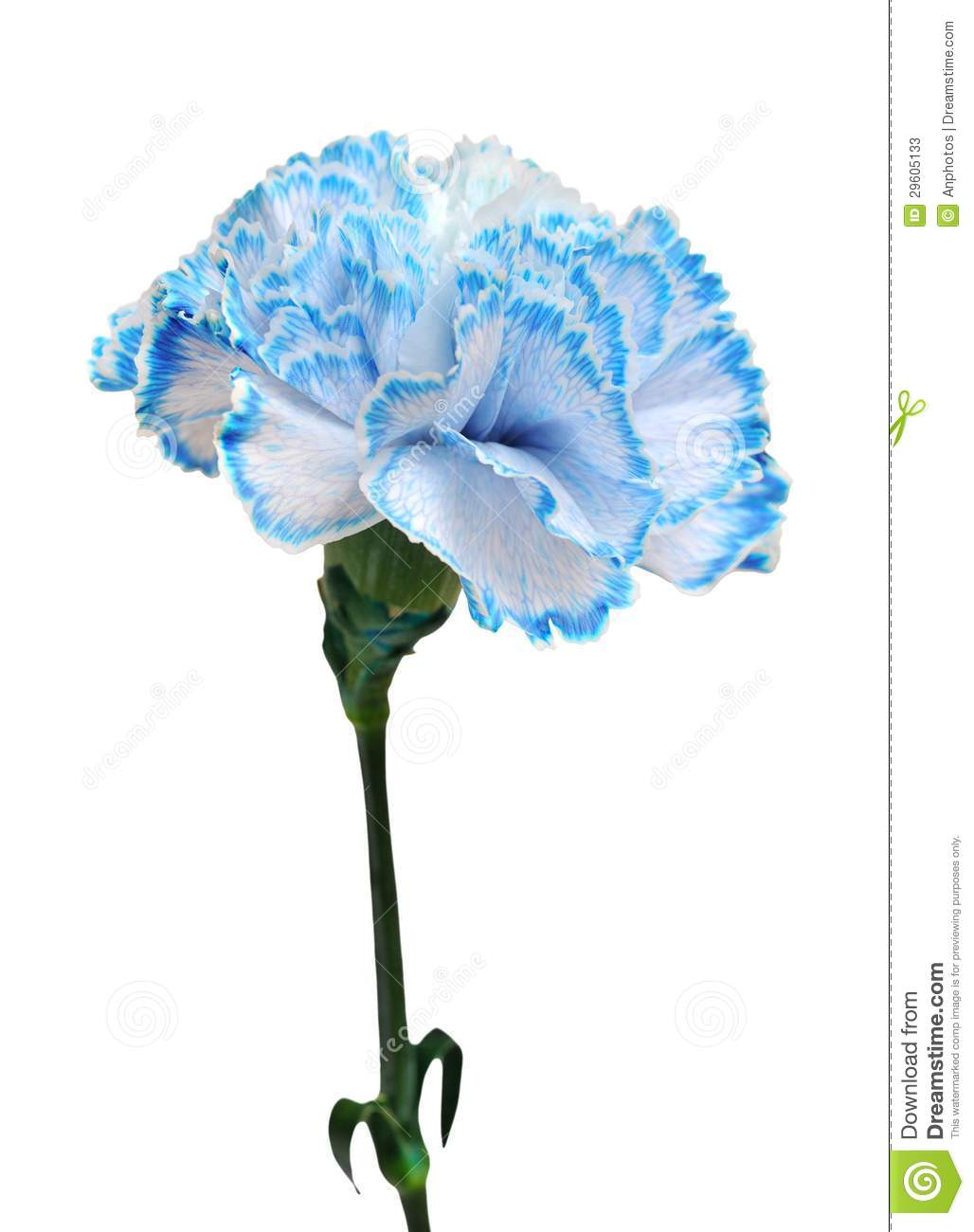 More similar stock images of ` Blue carnation `