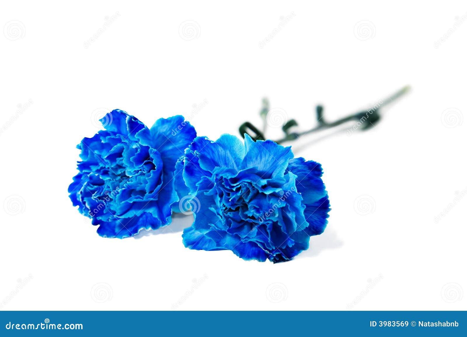 blue carnation stock image image of valentine bright