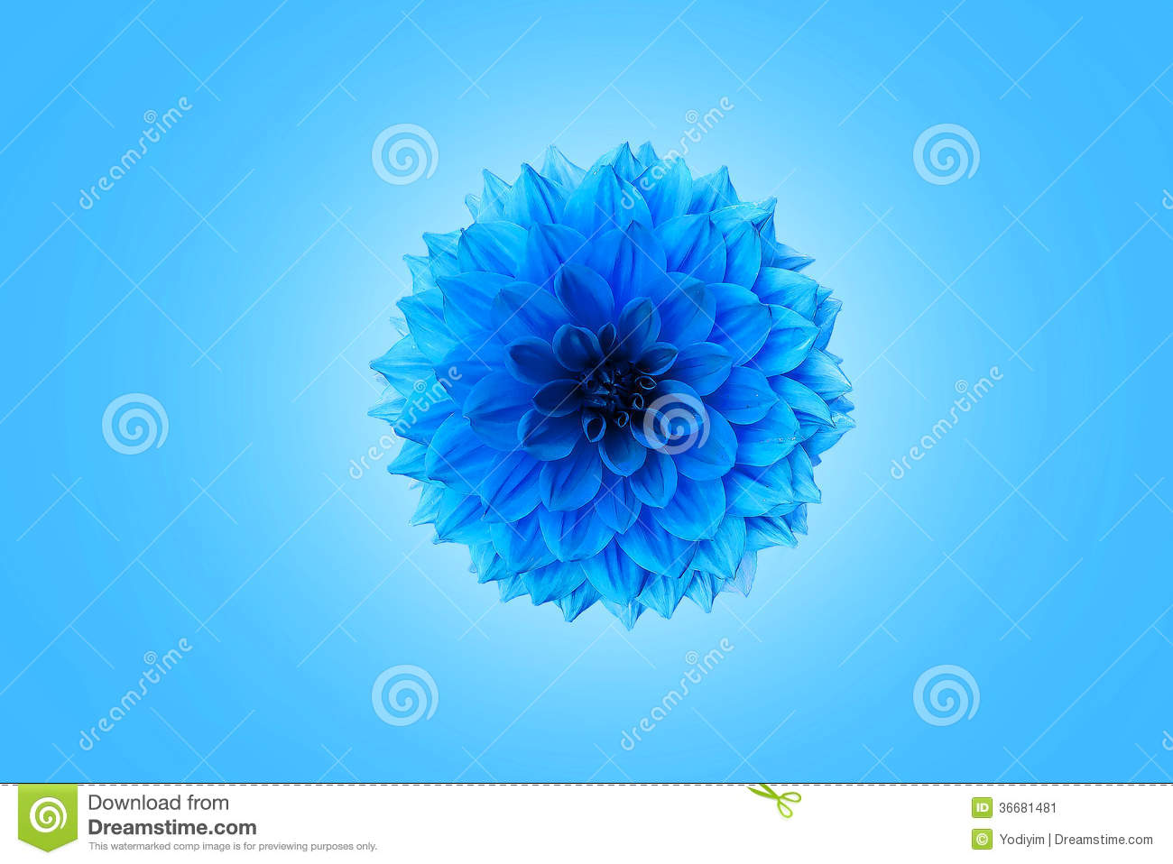 Blue Chrysanthemum Stock Image - Image: 36681481