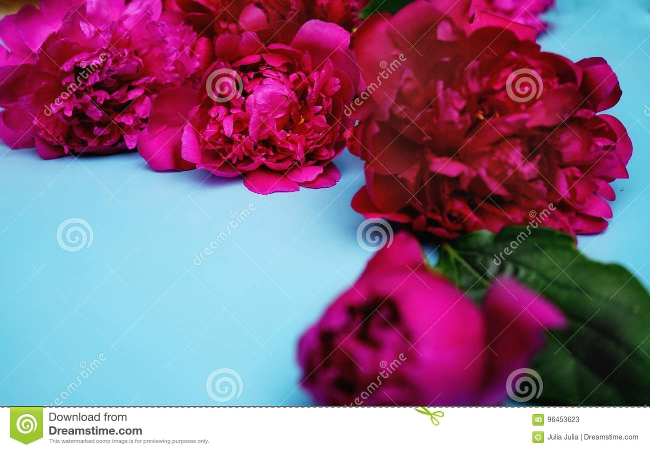 Blue Color Backgrounds Red Peony Close-up Day Flowers Garden Stock ...