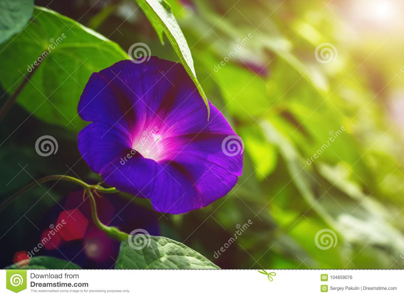 Blue colored morning glory flowers background stock photo image of download blue colored morning glory flowers background stock photo image of blooming botanical mightylinksfo