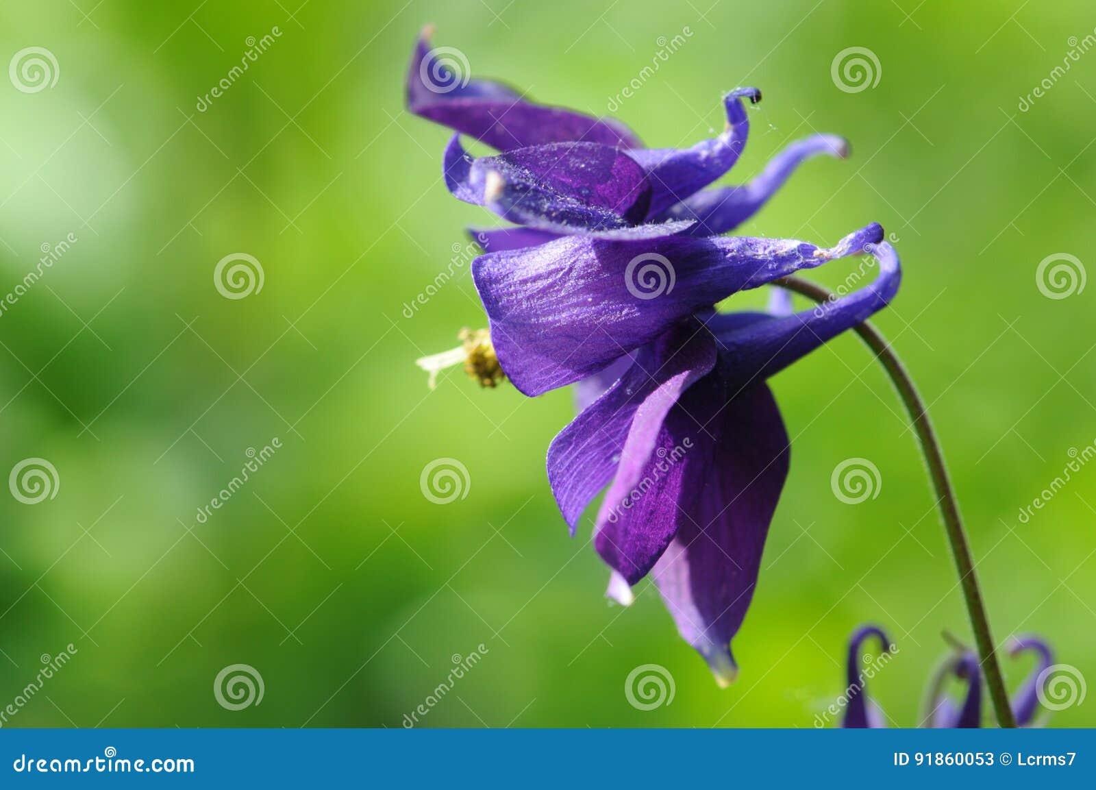 Blue columbine flower blooming outdoor stock image image of blue columbine flower blooming outdoor izmirmasajfo