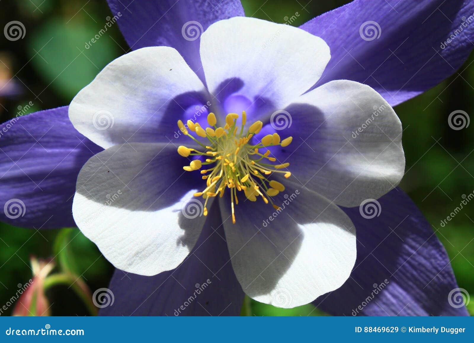Blue Columbine Flower In Colorado Stock Image Image Of Wildflower