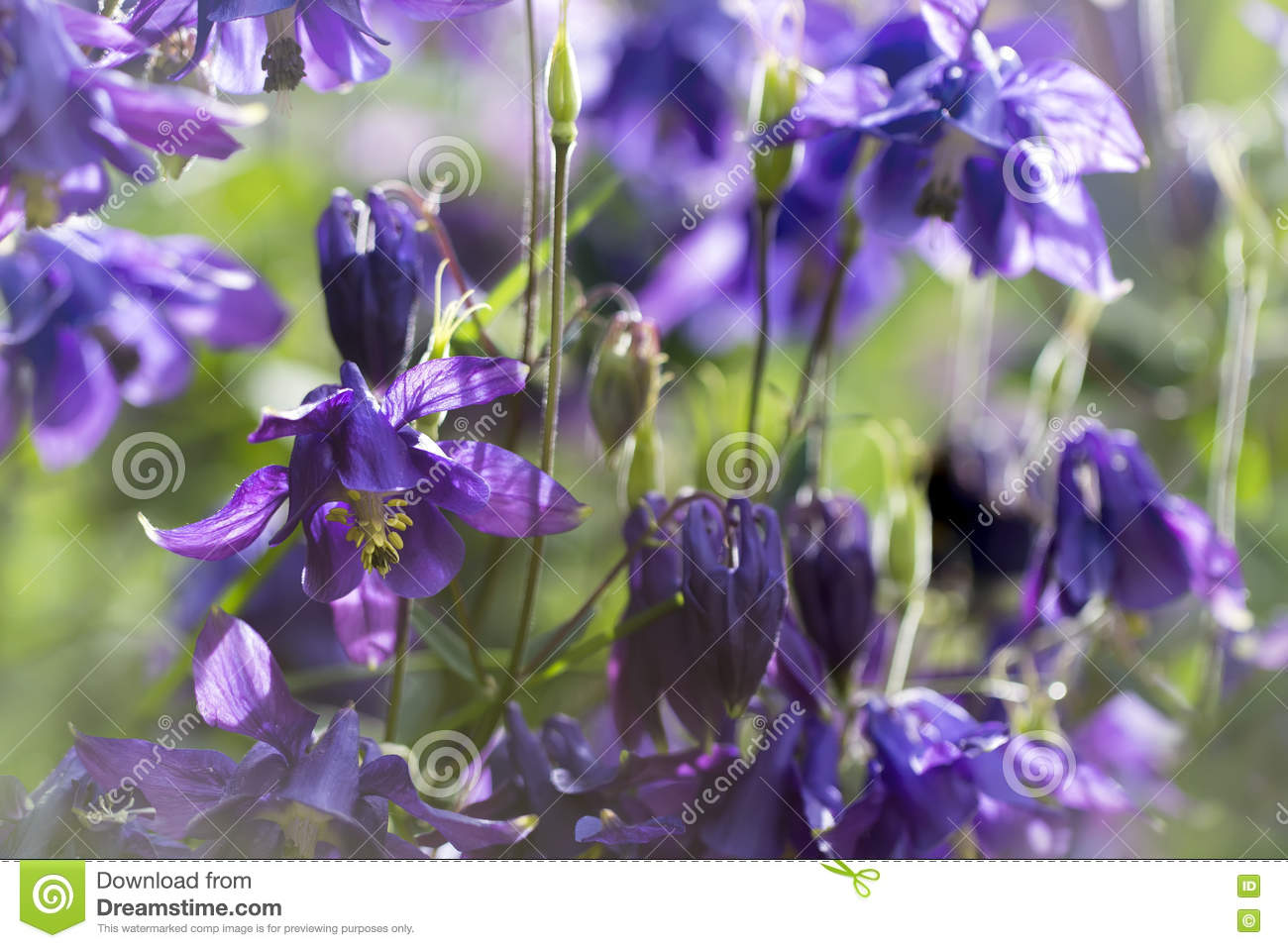 Blue columbine flower colorful bright spring background stock photo blue columbine flower colorful bright spring background izmirmasajfo