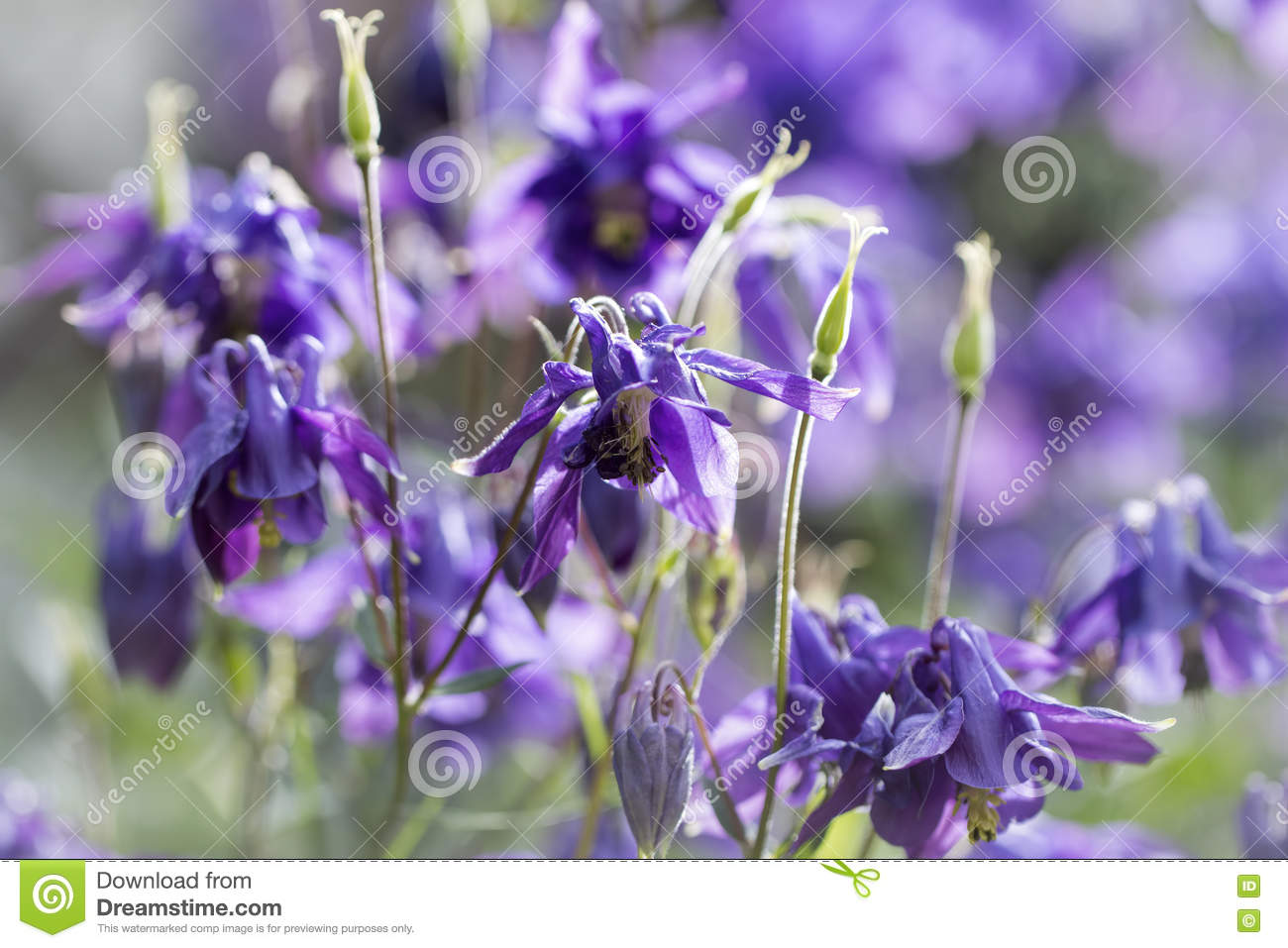 Blue columbine flower colorful spring background stock photo image download blue columbine flower colorful spring background stock photo image of summer color izmirmasajfo