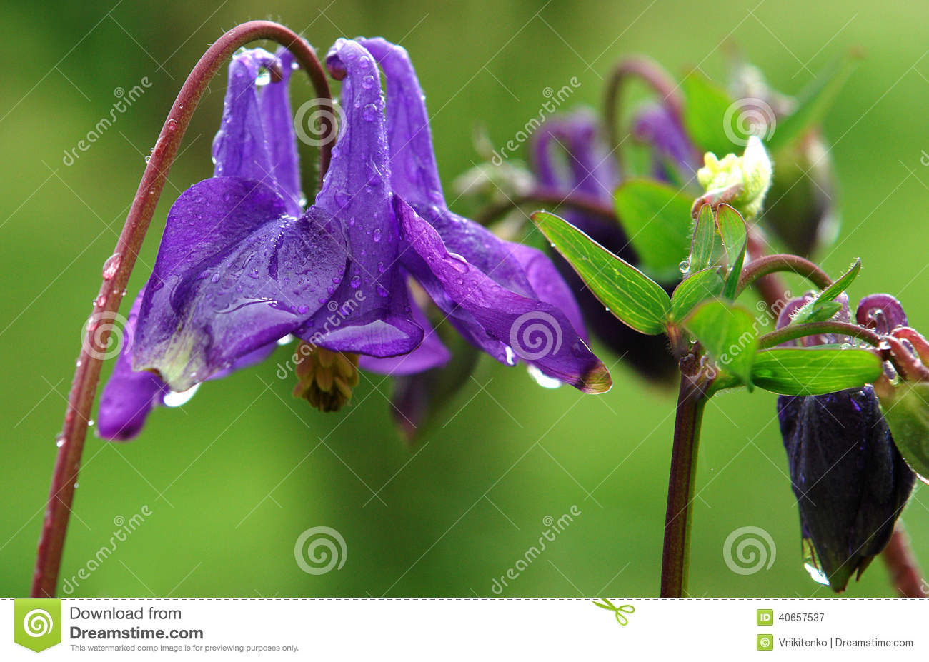 Blue columbine flower stock image image of state rain 40657537 download blue columbine flower stock image image of state rain 40657537 izmirmasajfo