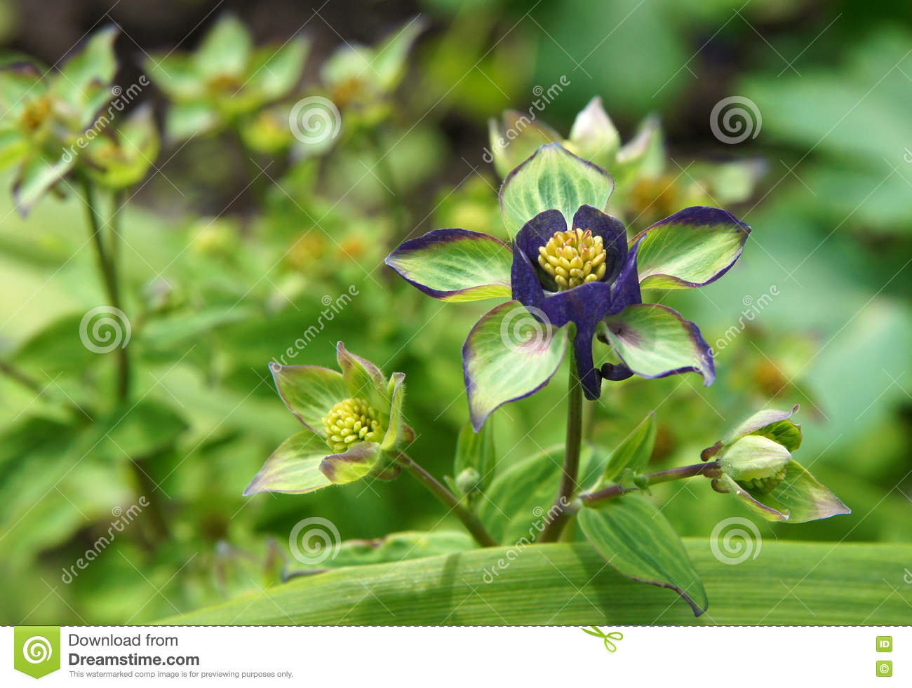 Blue columbine flowers stock photo image of pretty petal 71675008 download blue columbine flowers stock photo image of pretty petal 71675008 izmirmasajfo