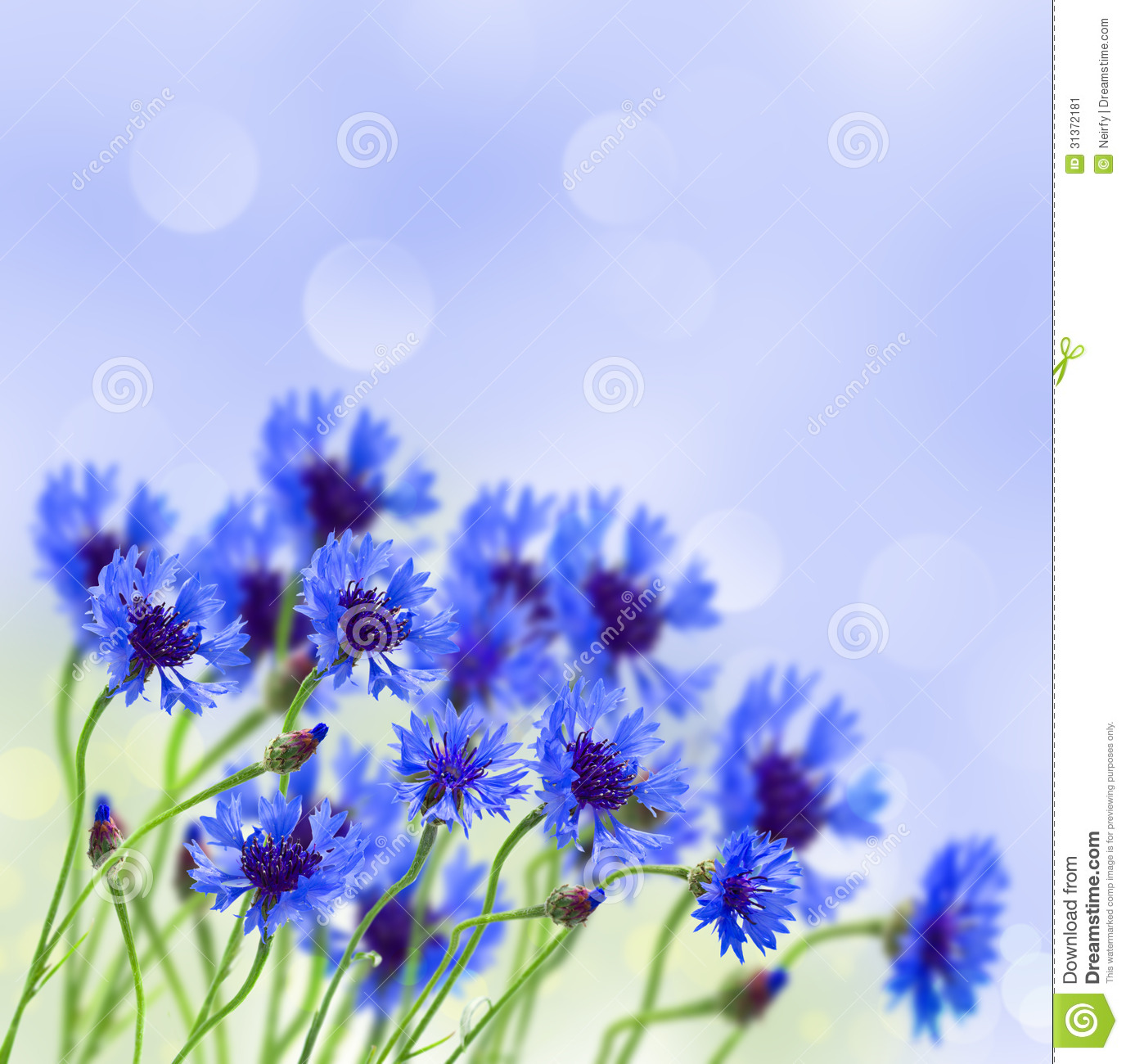 blue corn flower in field stock image