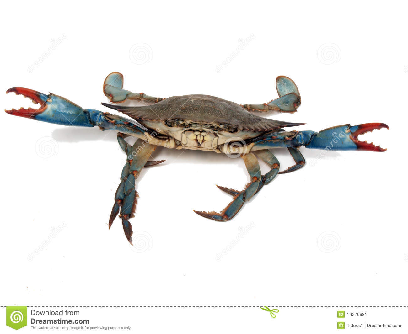 Blue crabs in fight pose 2