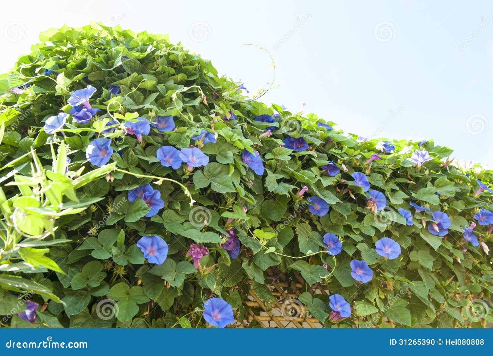 Blue creeping flowers stock photo image of bloom colors 31265390 blue creeping flowers izmirmasajfo Images