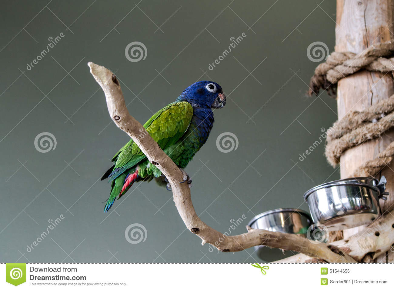 Blue-Crowned-Conure stock photo  Image of fowl, bird - 51544656