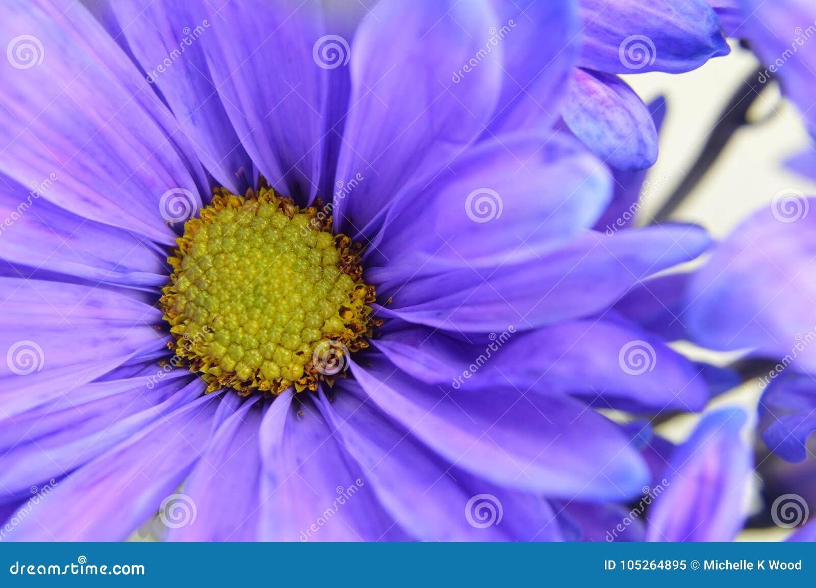 Blue Daisy with Yellow Center Flower Closeup