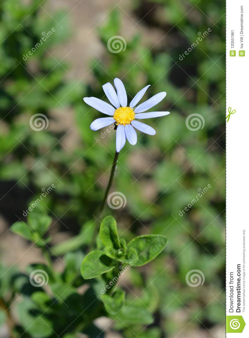 Blue daisy stock image  Image of green, plant, summer
