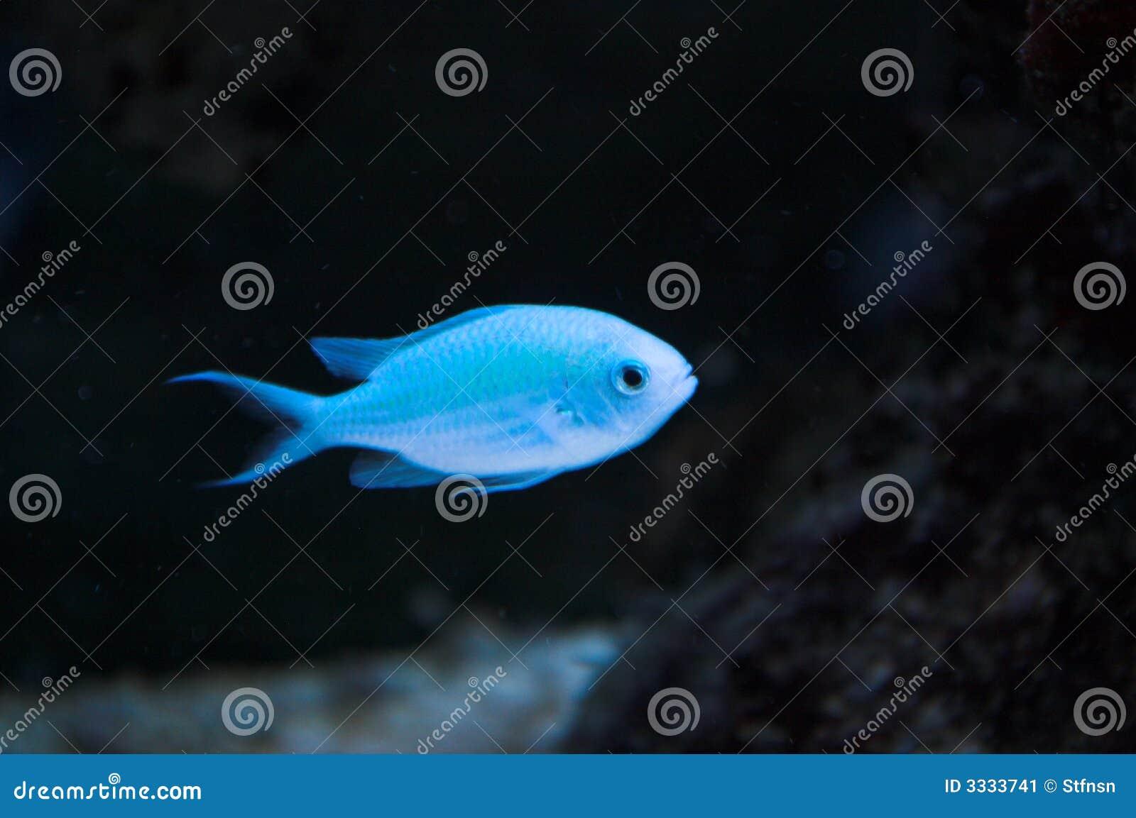 Blue damsel fish in aquarium stock image image 3333741 for Blue fish aquarium