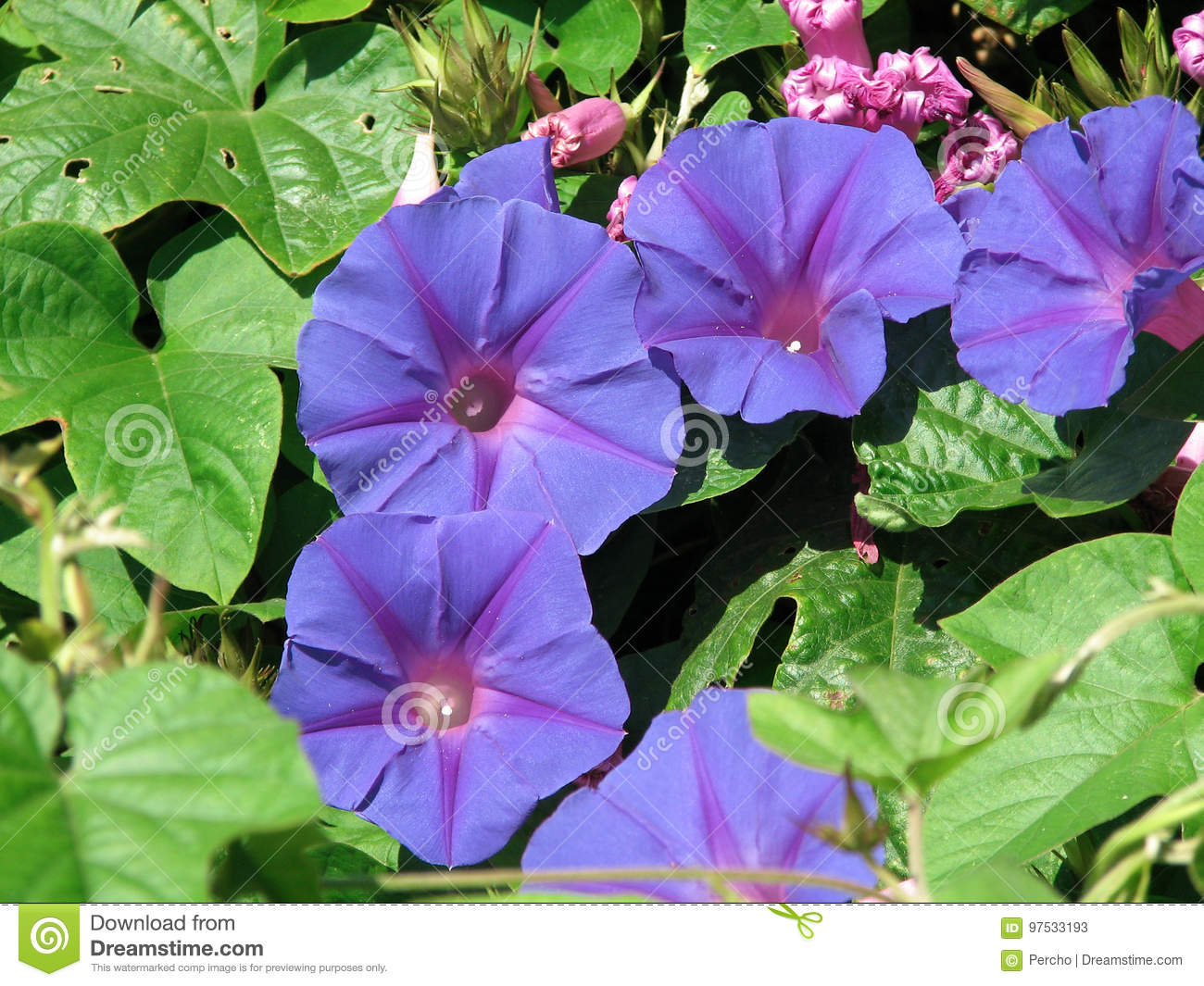 Blue Dawn Flower Stock Image Image Of Indica Flowers 97533193