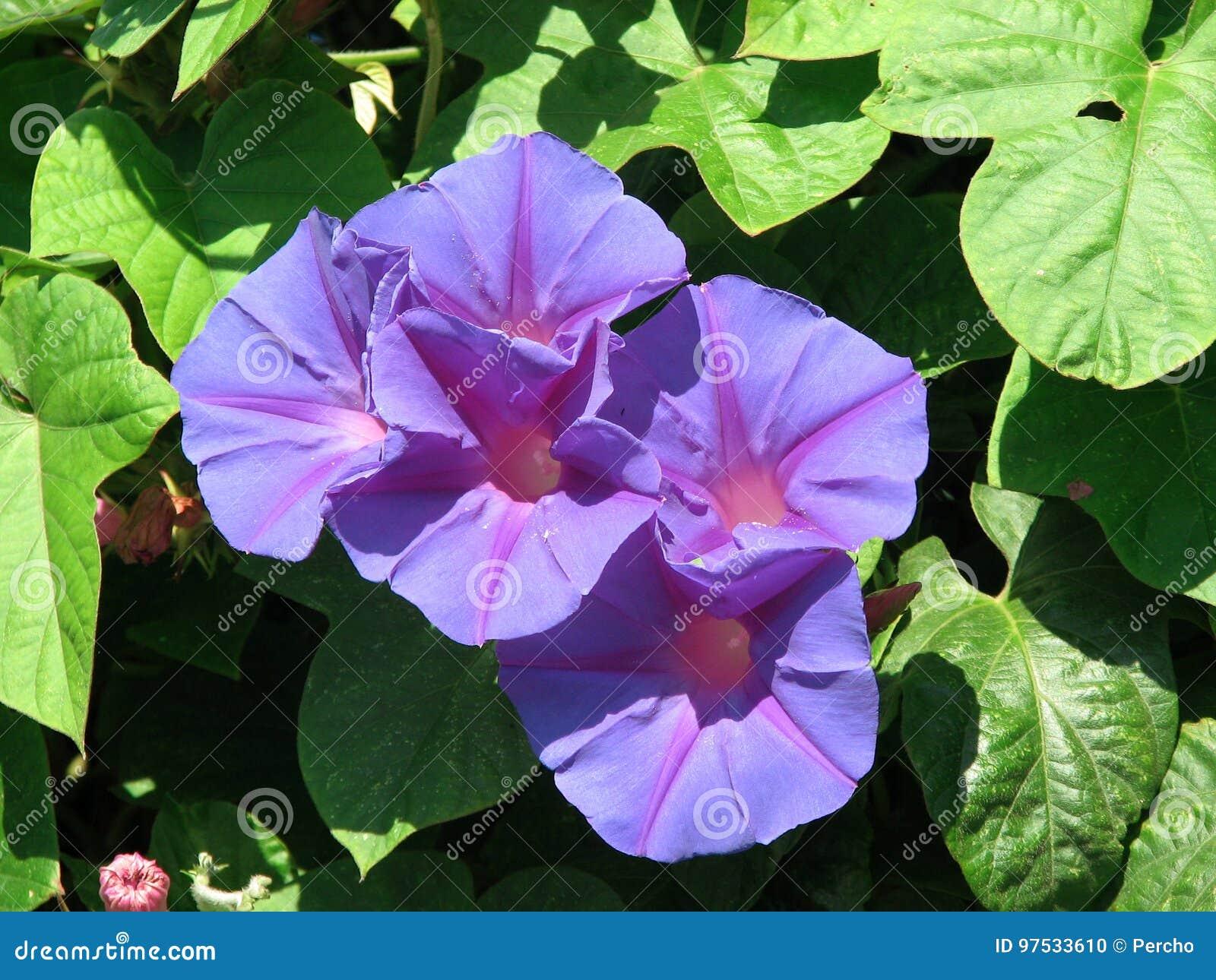 Blue dawn flower stock photo image of indica mallorca 97533610 izmirmasajfo