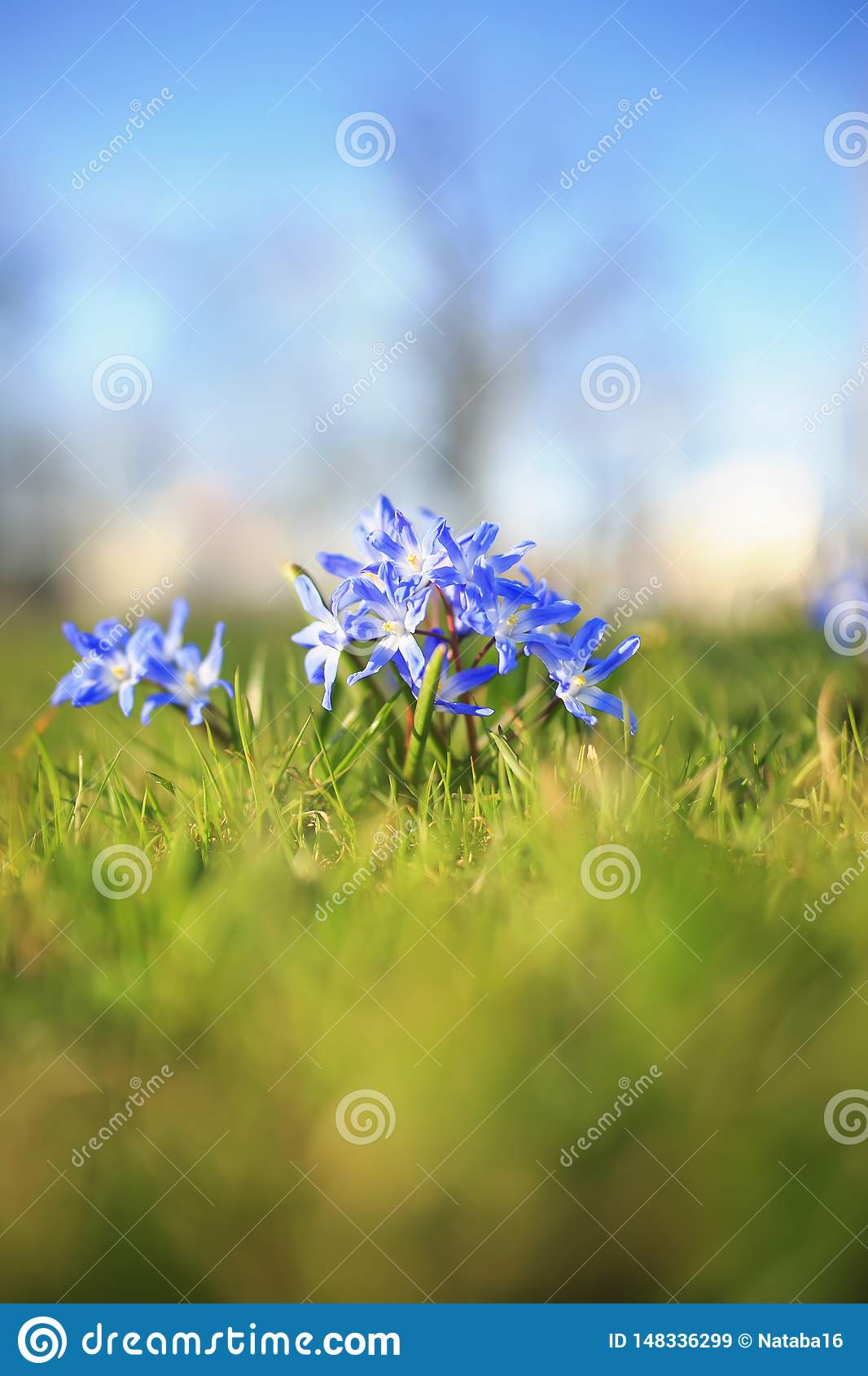 blue delicate flowers bloomed under the warm spring rays in the Park
