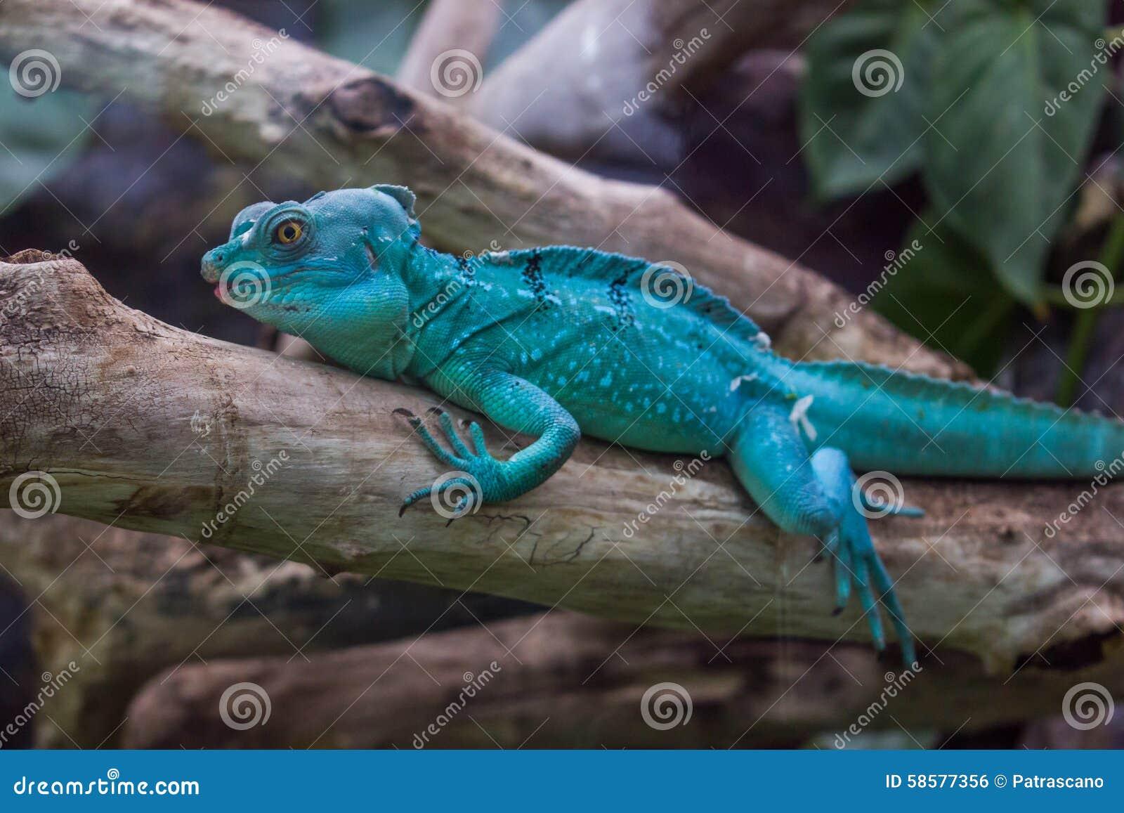 Dragon Bleu Animal blue dragon like lizzard stock photo. image of monitor - 58577356