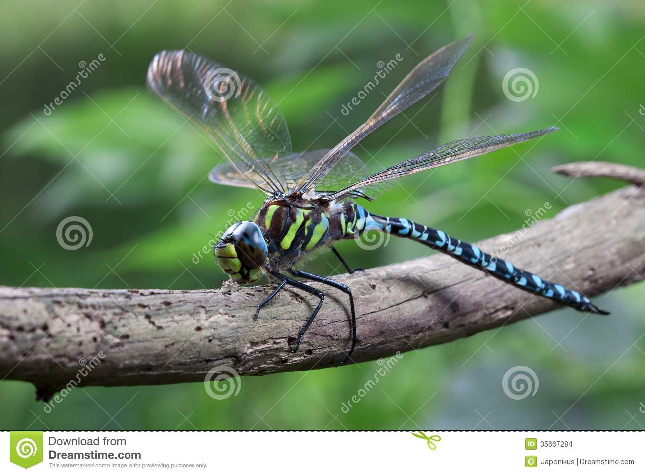 Download Blue Dragonfly stock photo. Image of predators, emperor - 35667284