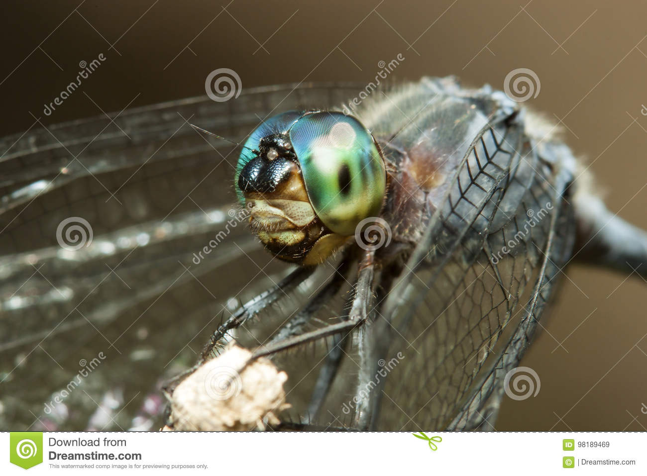 Blue dragonfly with green eyes macro portrait on a stick