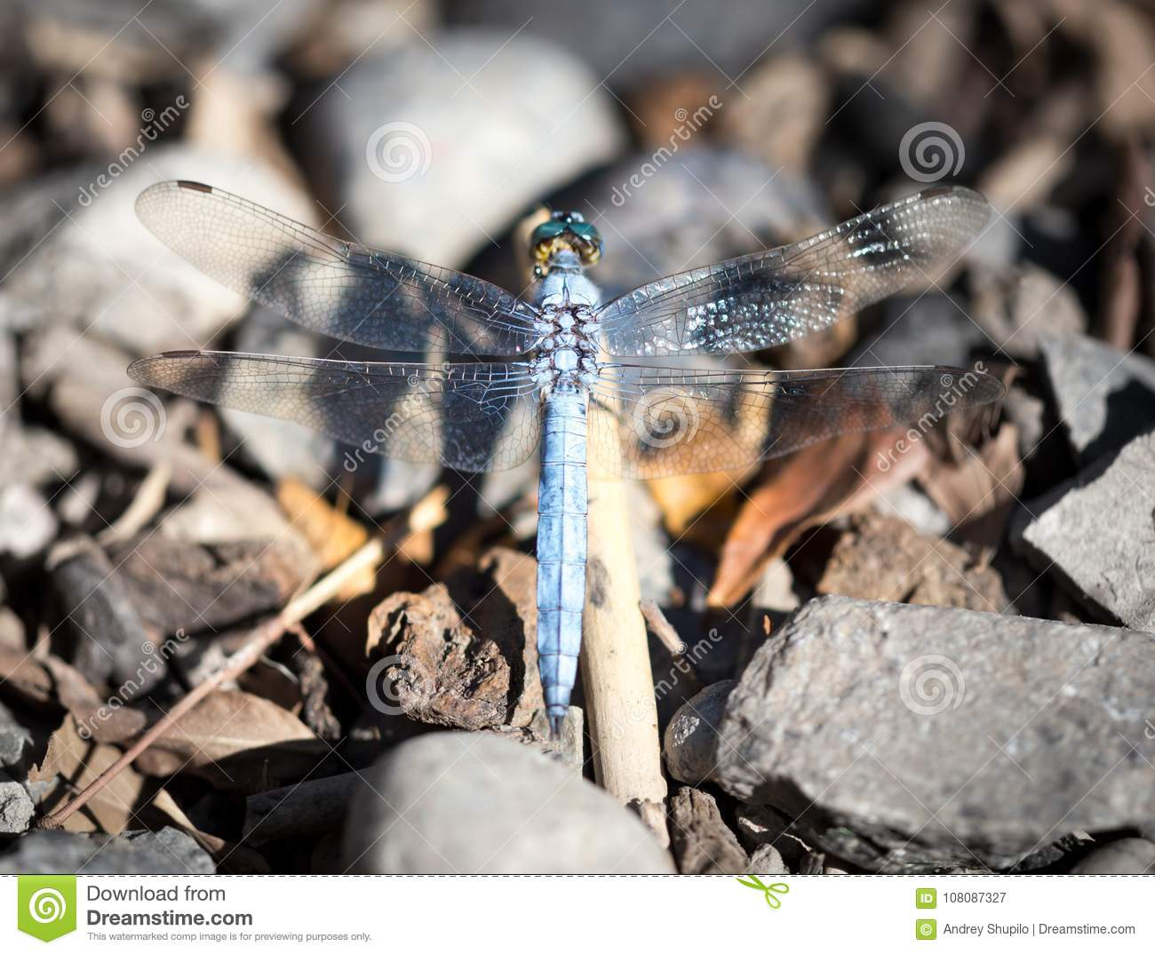 A blue dragonfly in the nature