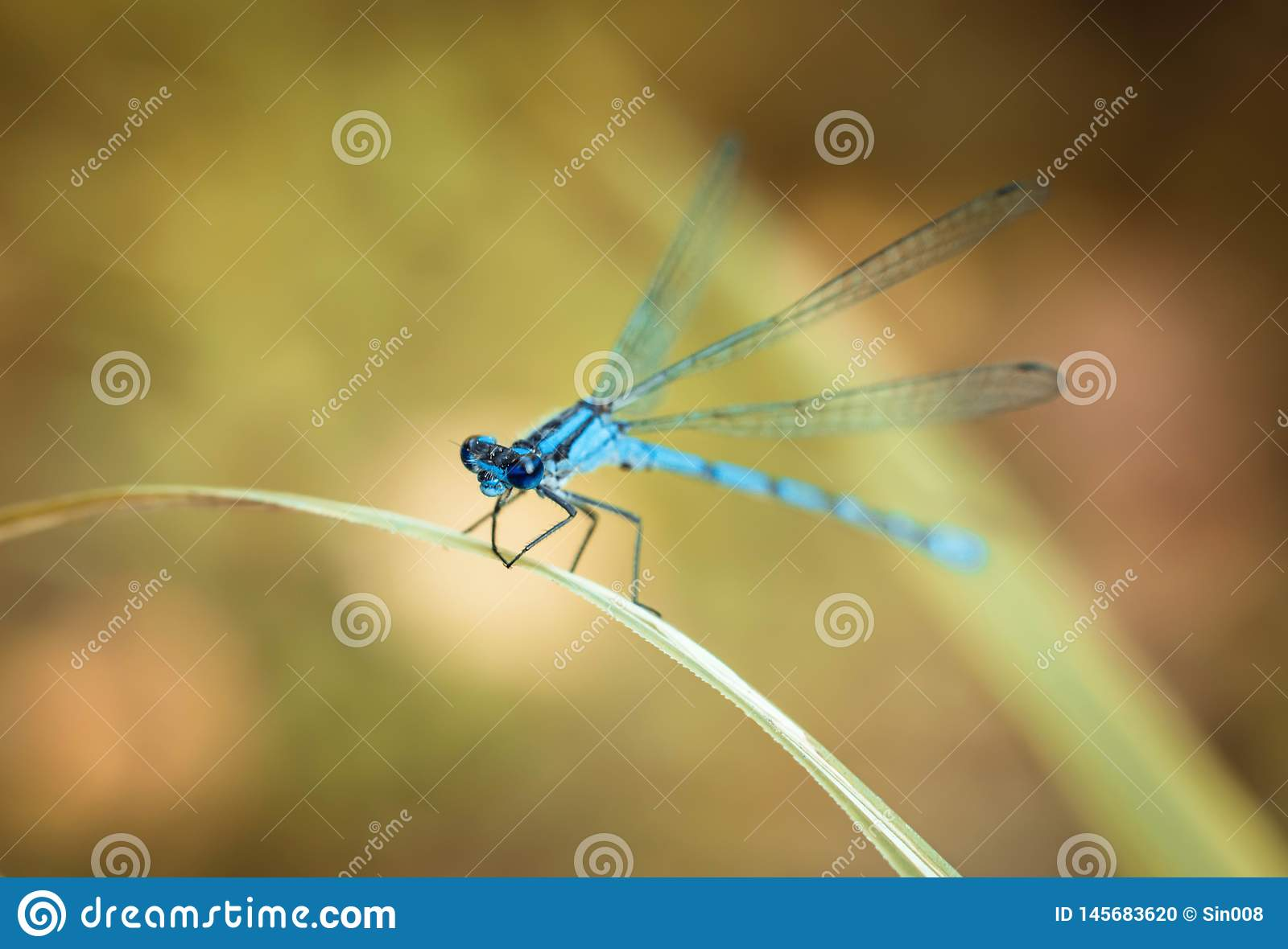 Blue dragonfly on a yellow background. Dragonfly sitting on a dry blade of grass. Textured wings. Bright summer day.