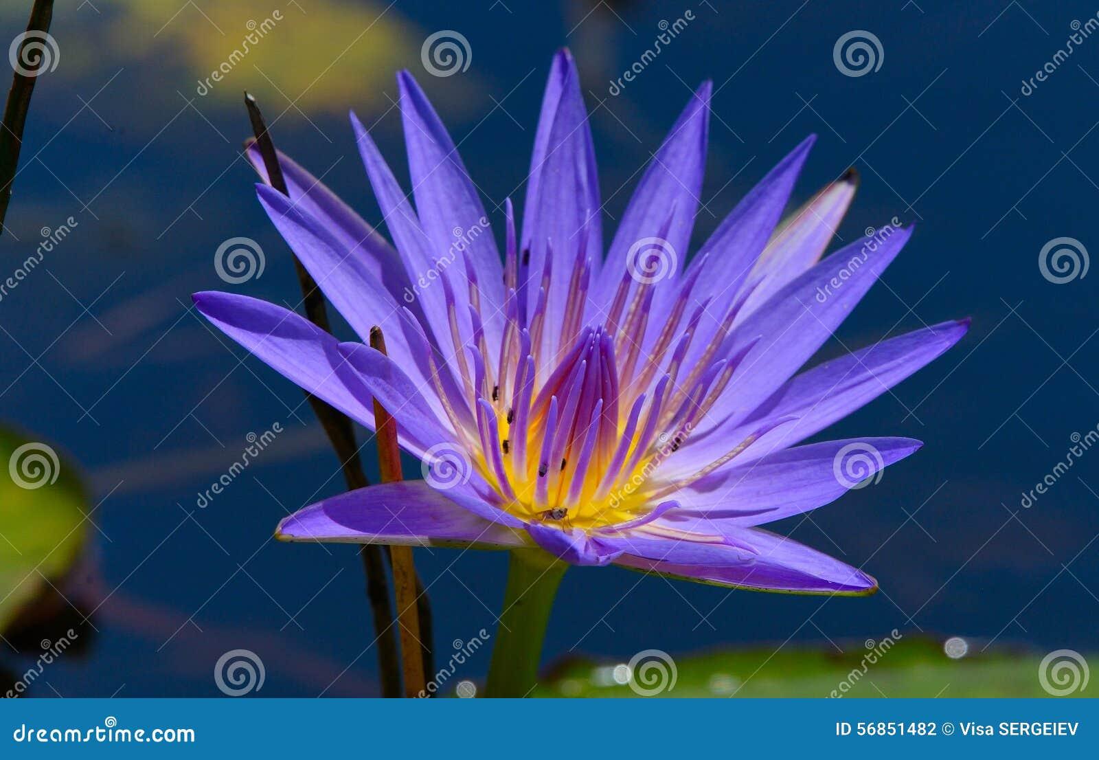 Blue Egyptian Lotus Stock Photo Image Of Blossom Peace 56851482