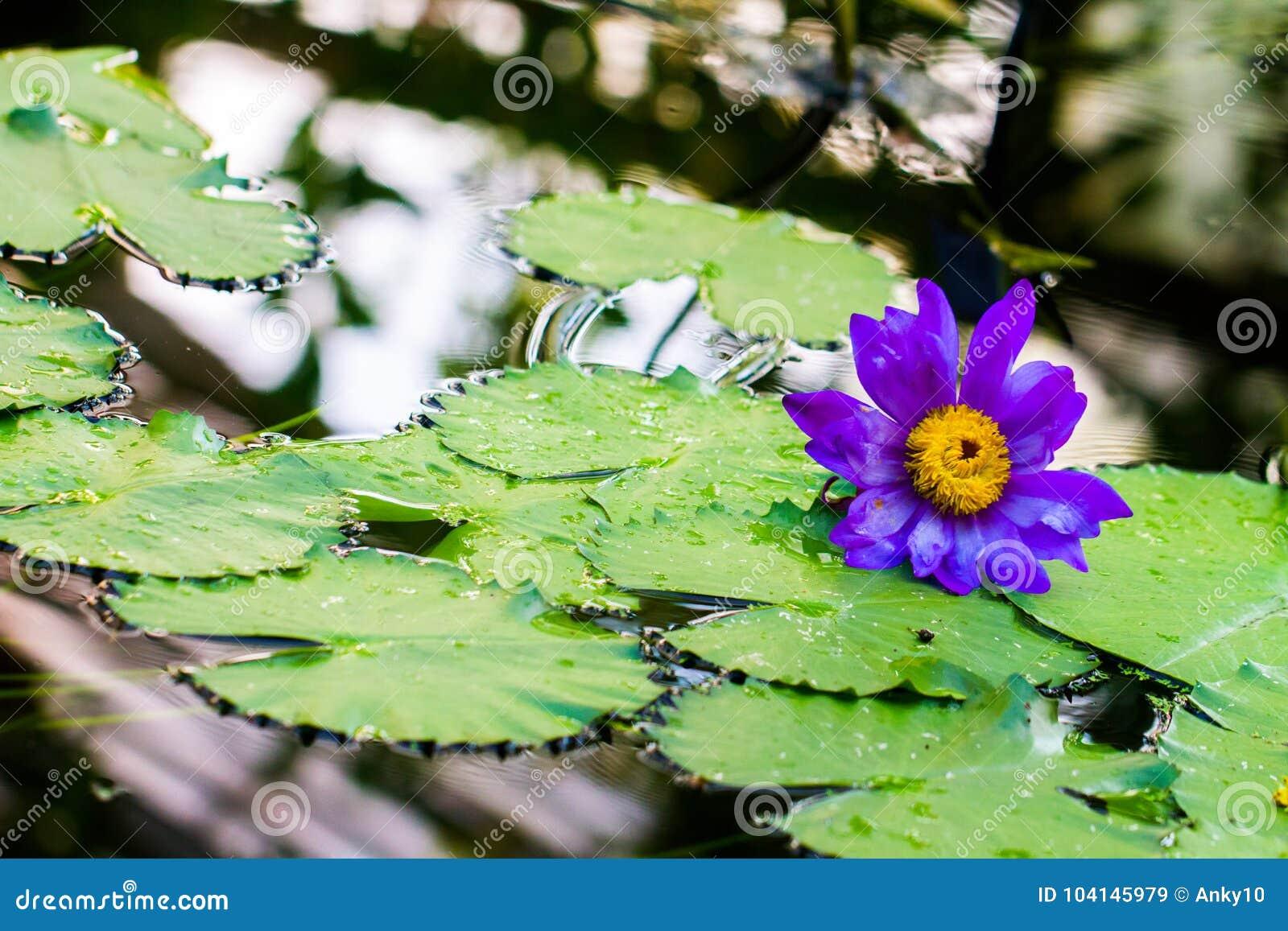 Blue egyptian lotus on pond stock image image of egyptian blossom blue egyptian lotus on pond izmirmasajfo