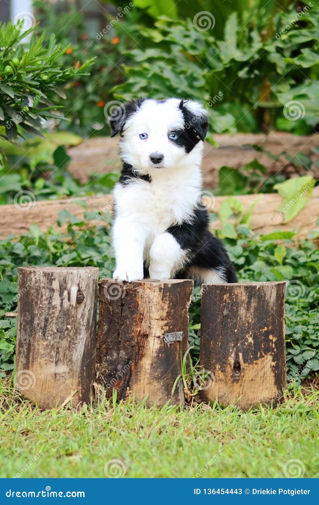 Blue Eye Border Collie Puppy Stock Image Image Of Beautiful Border 136454443