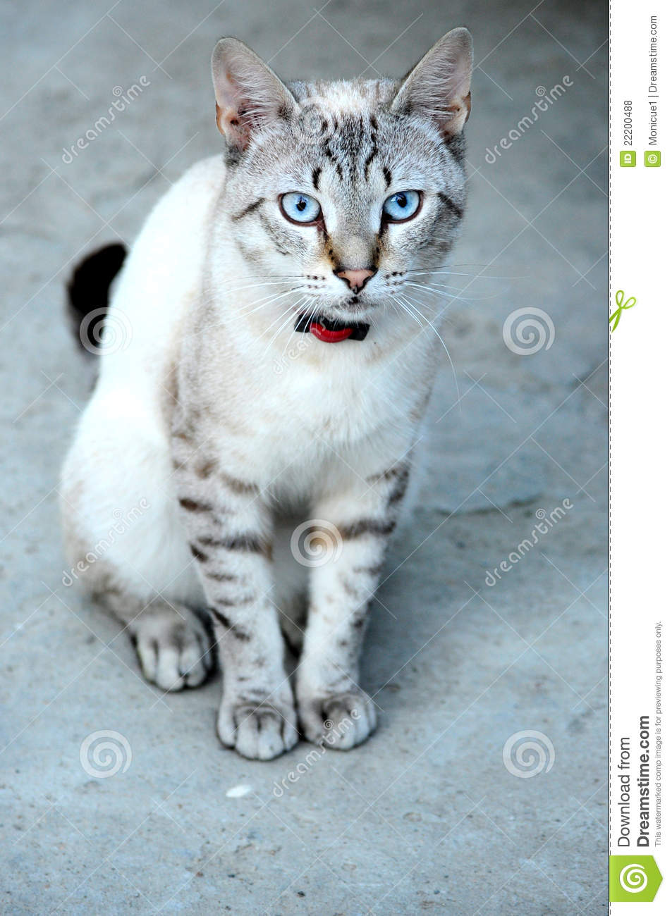 Blue Eyed Cat Royalty Free Stock s Image
