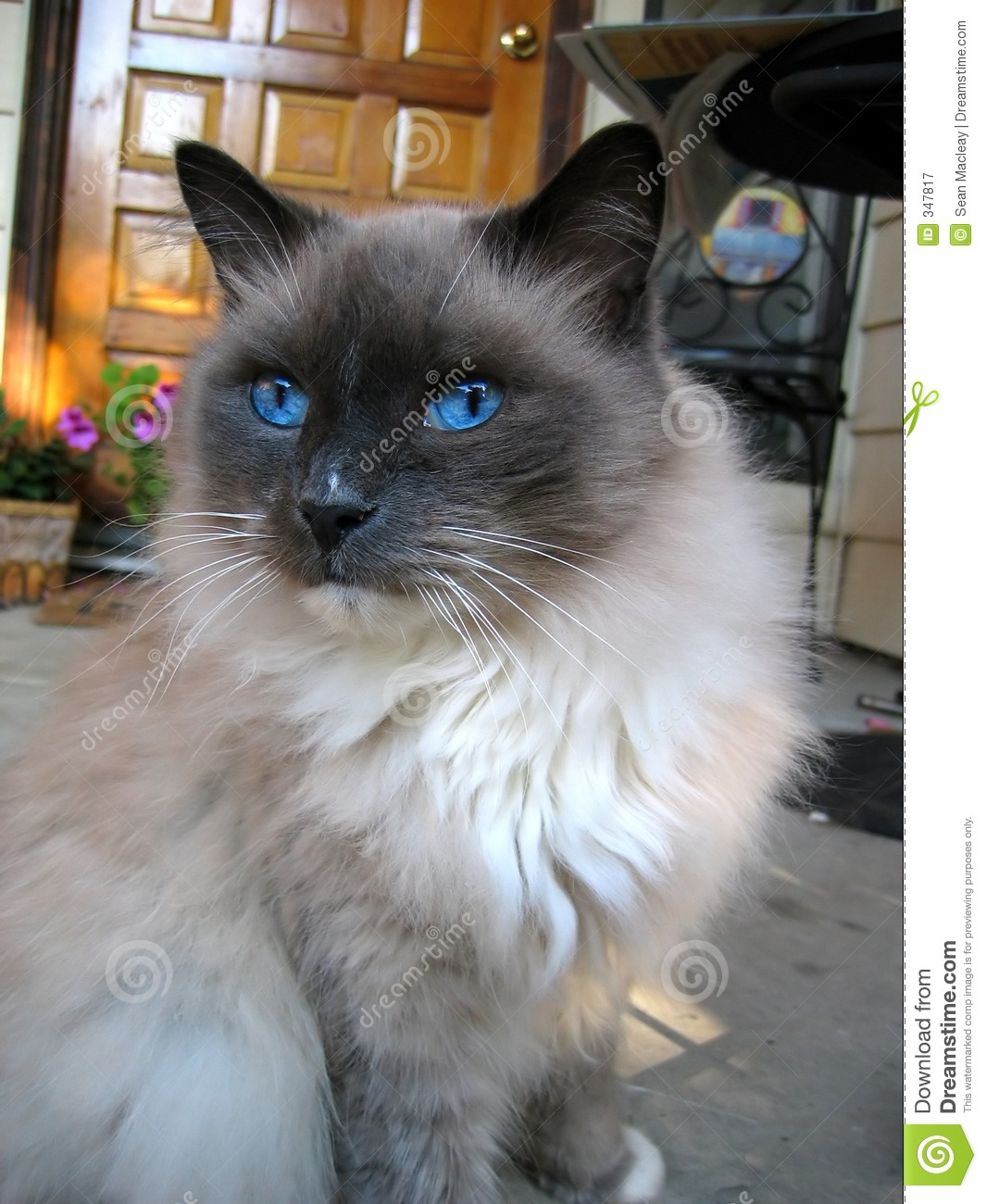 Blue Eyed Cat stock image Image of look fluffy pose