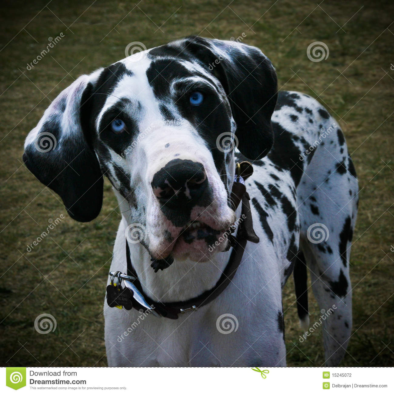 Blue Eyed Great Dane Photos Free Royalty Free Stock Photos From Dreamstime