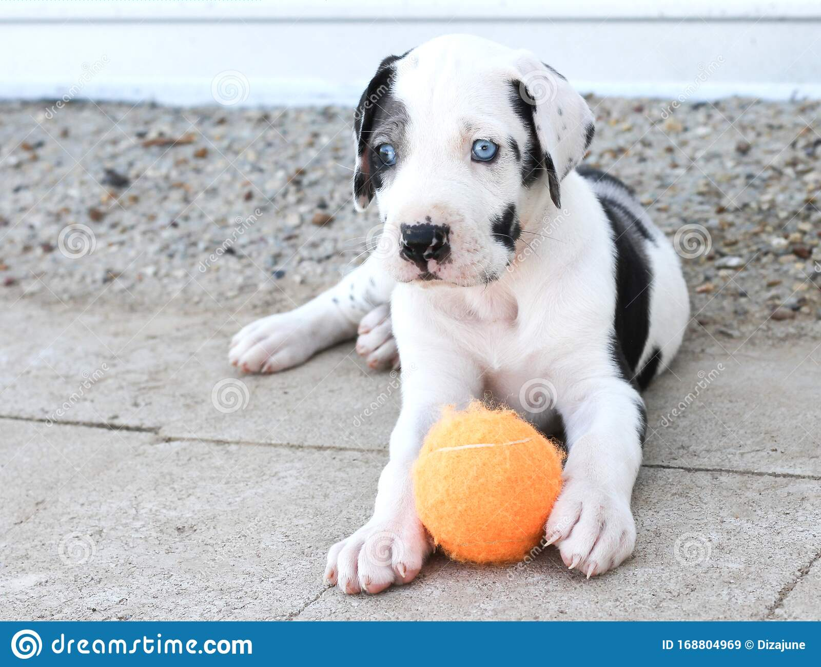 Blue Eyed Great Dane Puppy Laying With Orange Ball Stock Image Image Of Patio Puppy 168804969