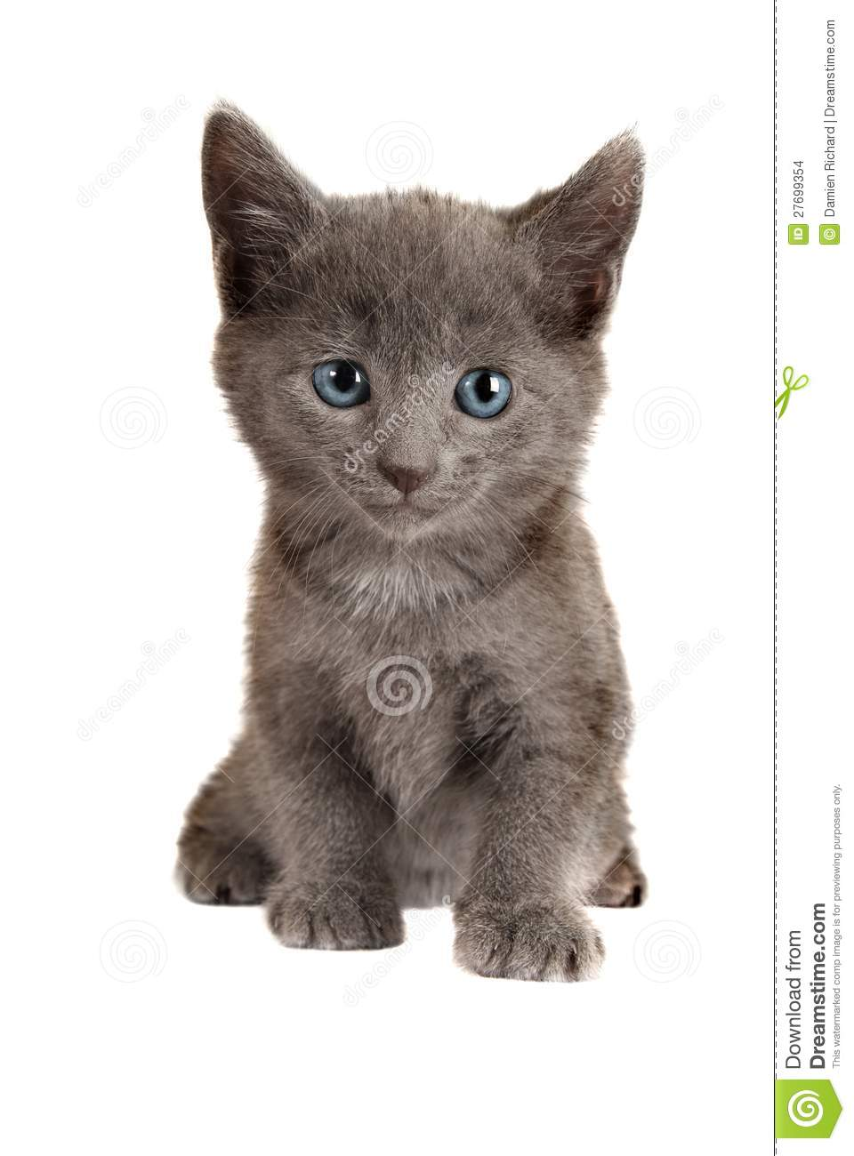 Blue Eyed Grey Kitten White Stock Image
