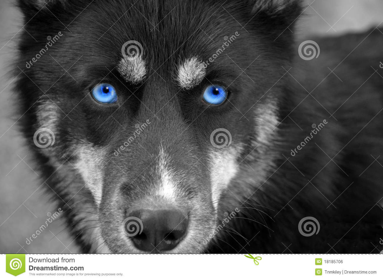 Solid Black Siberian Husky With Blue Eyes Blue eyed husky...