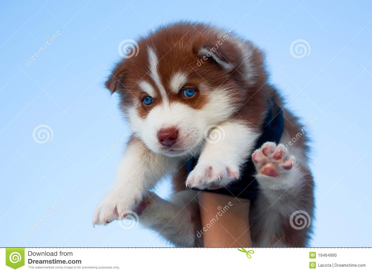 Blue Eyed Husky Puppy Stock Photo Image Of Siberian 19464990