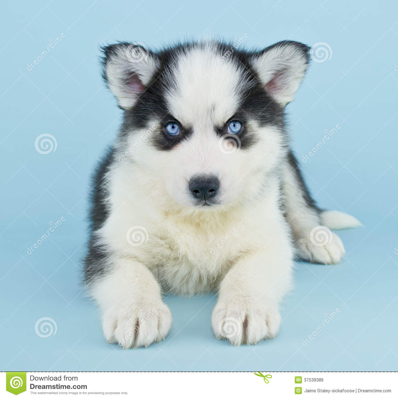 Blue Eyed Dog Puppy