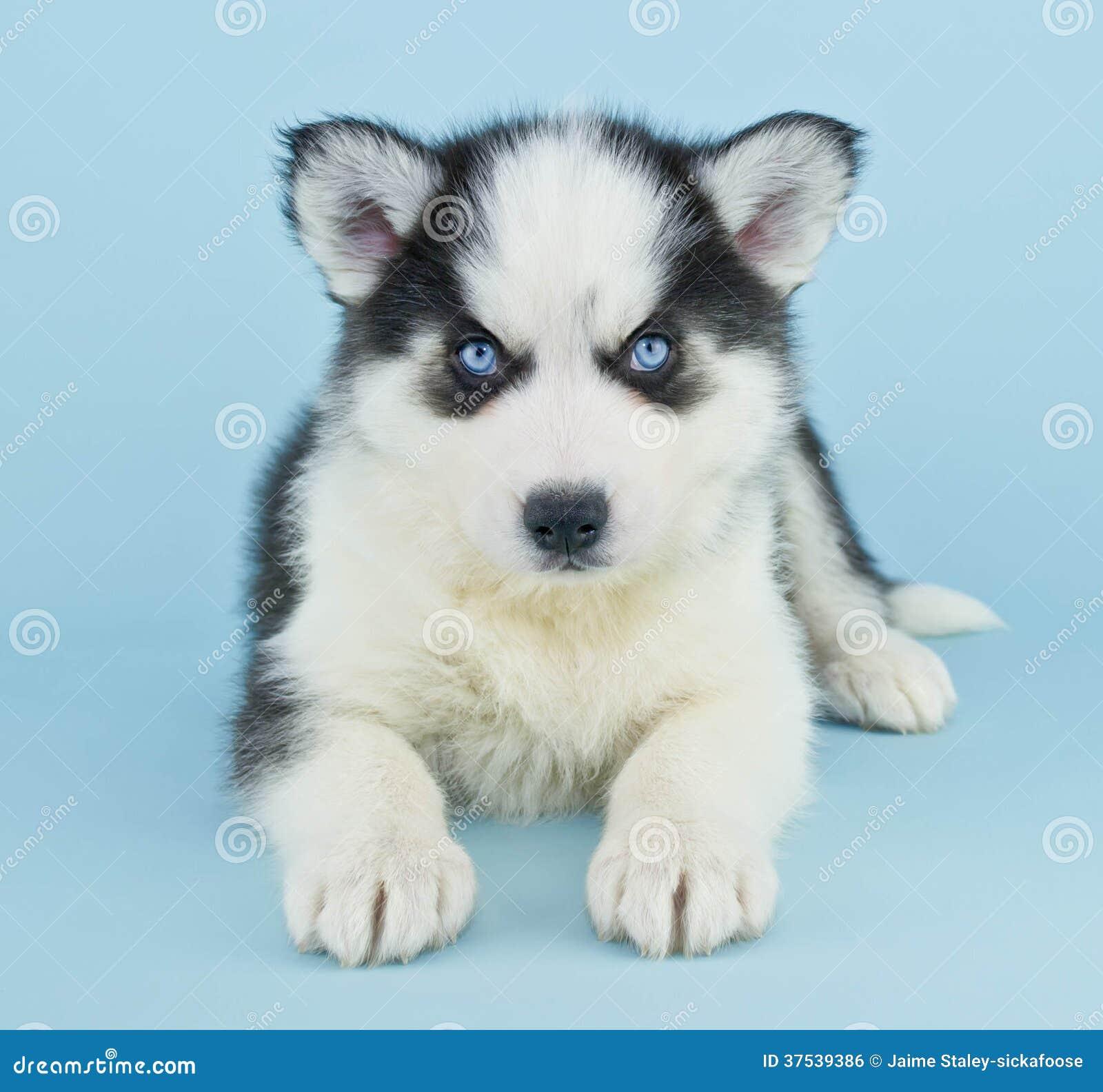 Blue Eyed Dog Puppy