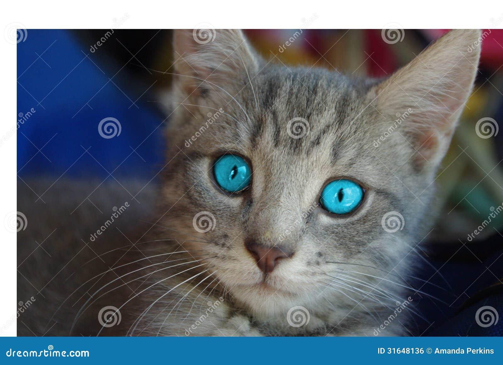 Blue Eyed Grey Cat Breed