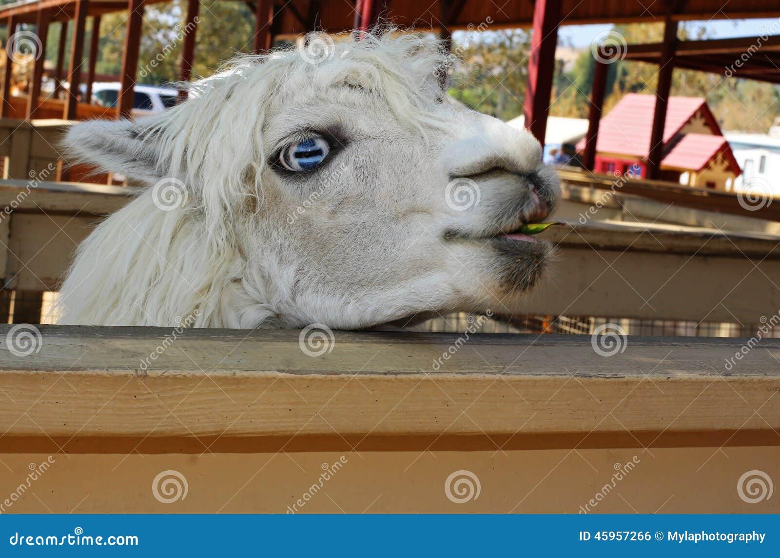 Blue eyed llama