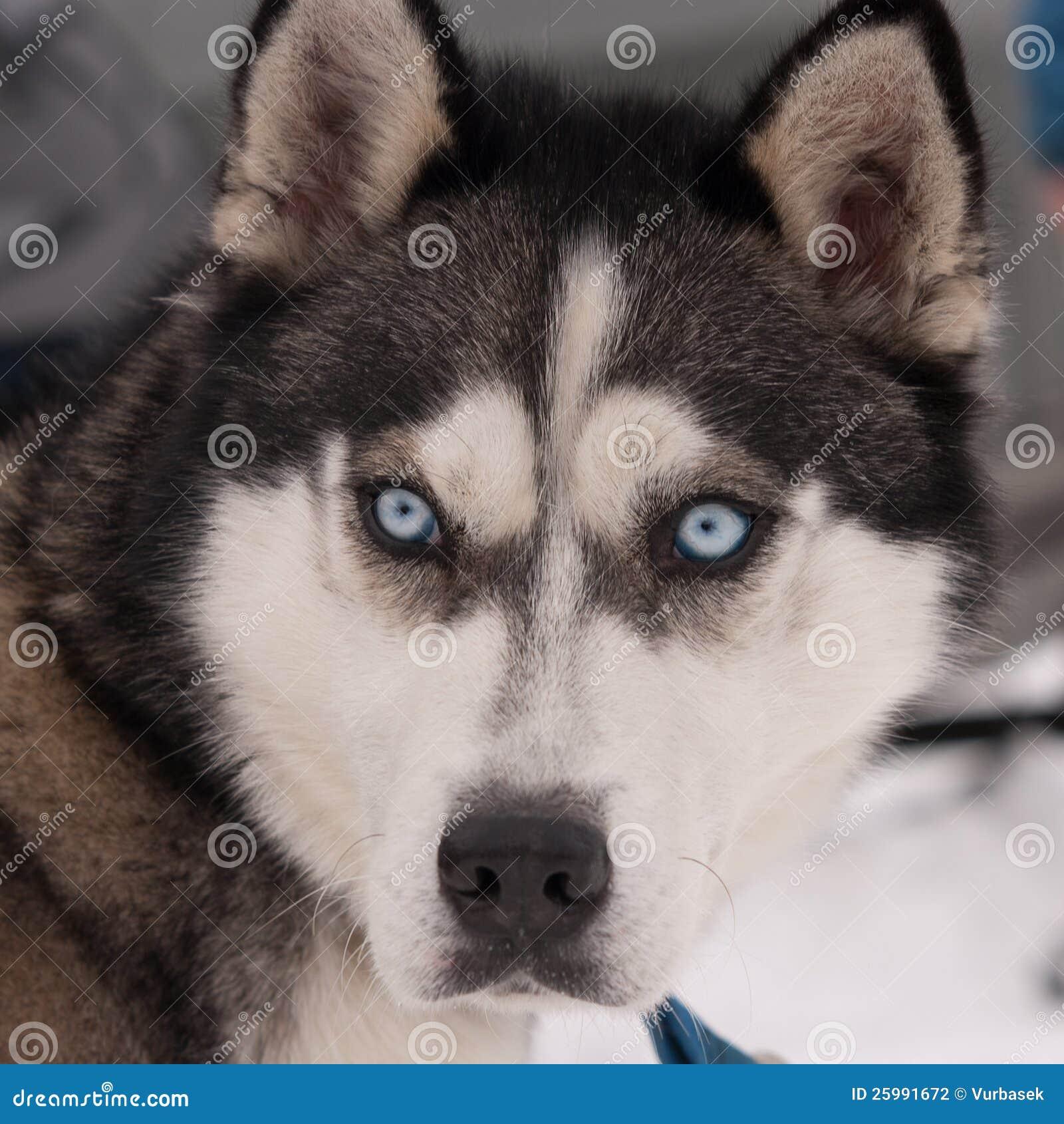 Blue Eyed Siberian Husky Portrait Stock Photo - Image ...
