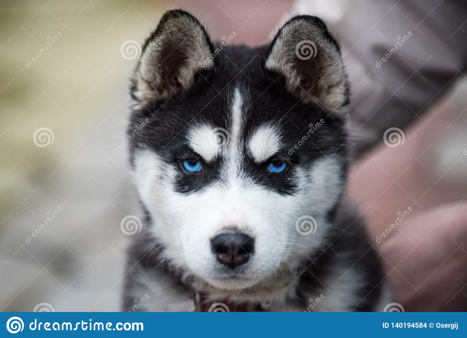 Blue Eyed Siberian Husky Puppy Head 8 Weeks Old Female Headshot With Purple Leash And Sandy Beach Background Stock Photo Image Of Facialmask Companion 140194584