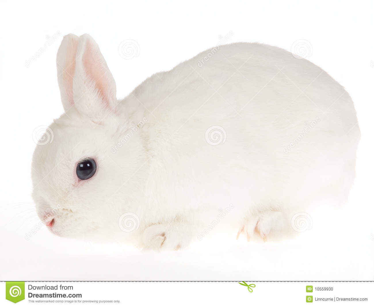 Blue-eyed White Netherland Dwarf Rabbit, On White Stock ...