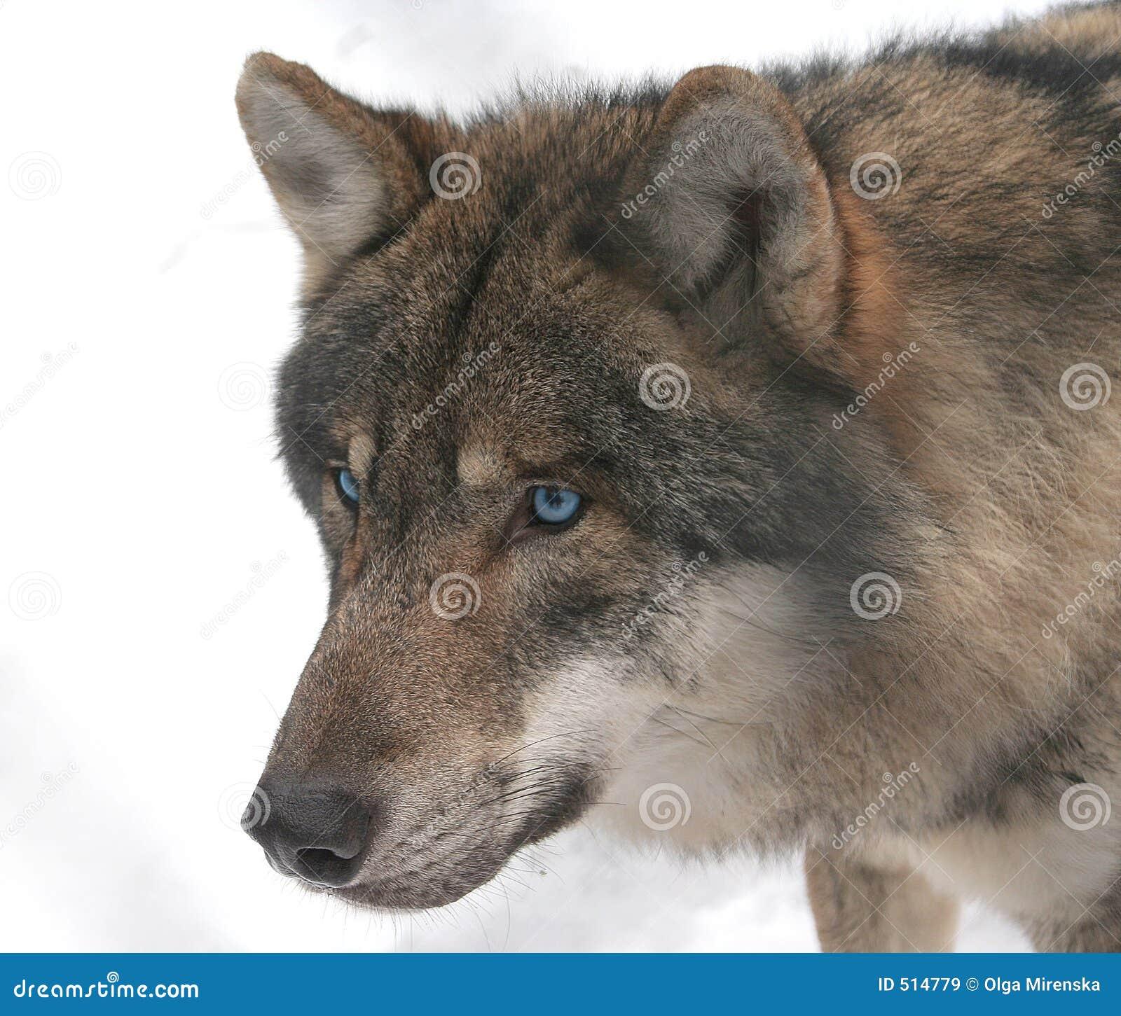 Blue-eyed Wolf Stock Image. Image Of Dangerous, Wolf, Bird