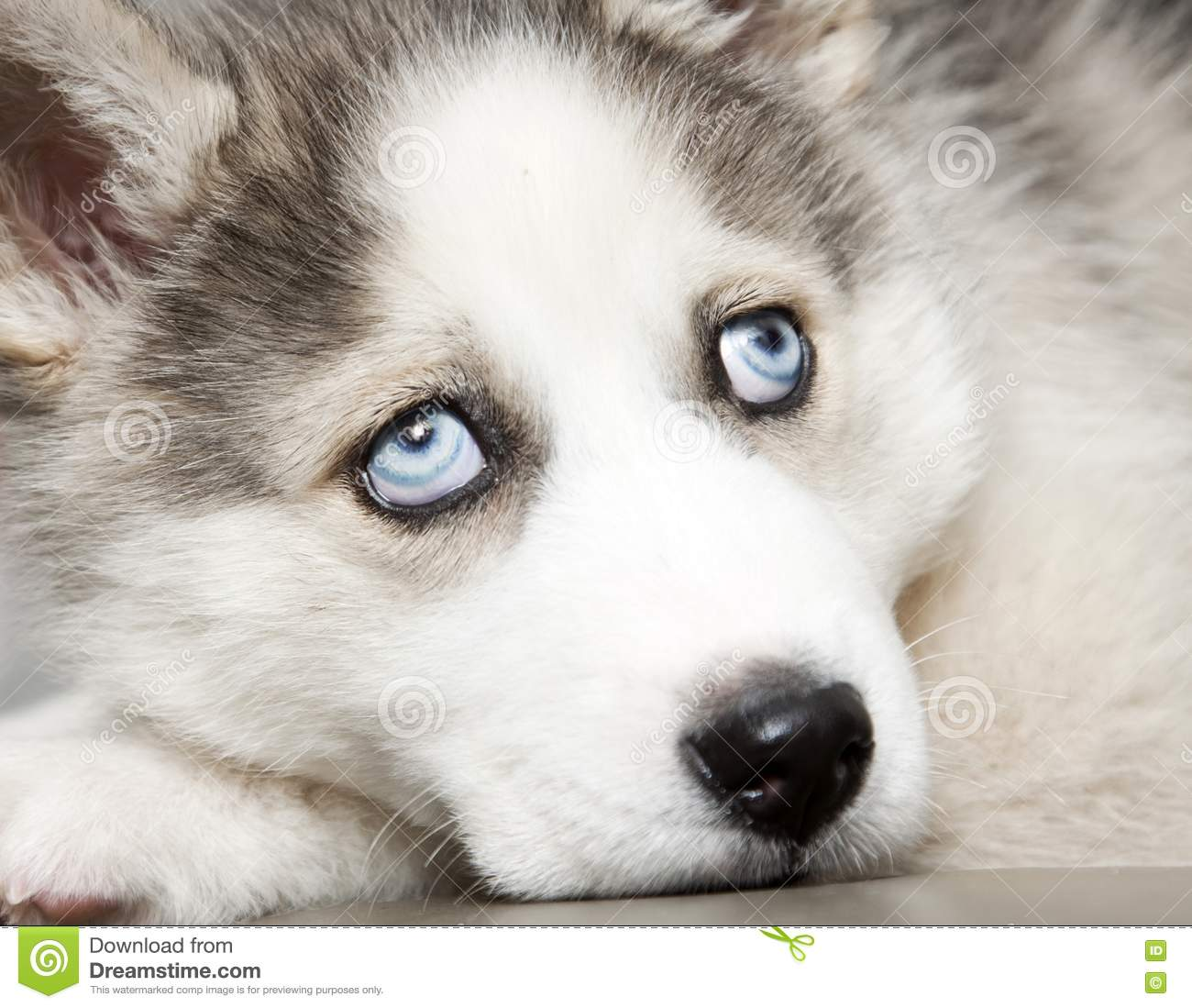 blue eyes of cute siberian