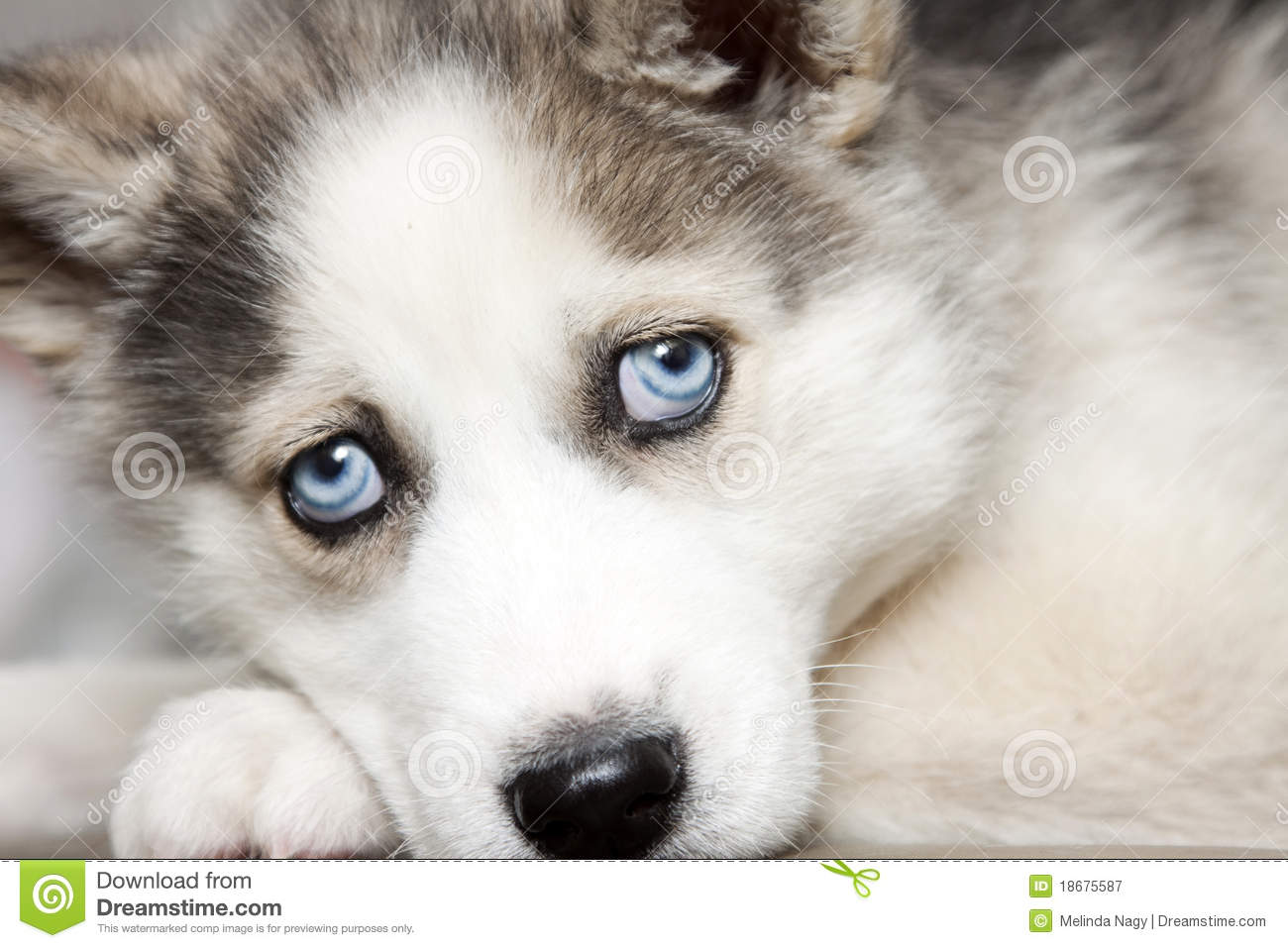Blue Eyes Of Cute Siberian Husky Puppy Stock Image Image Of Blue