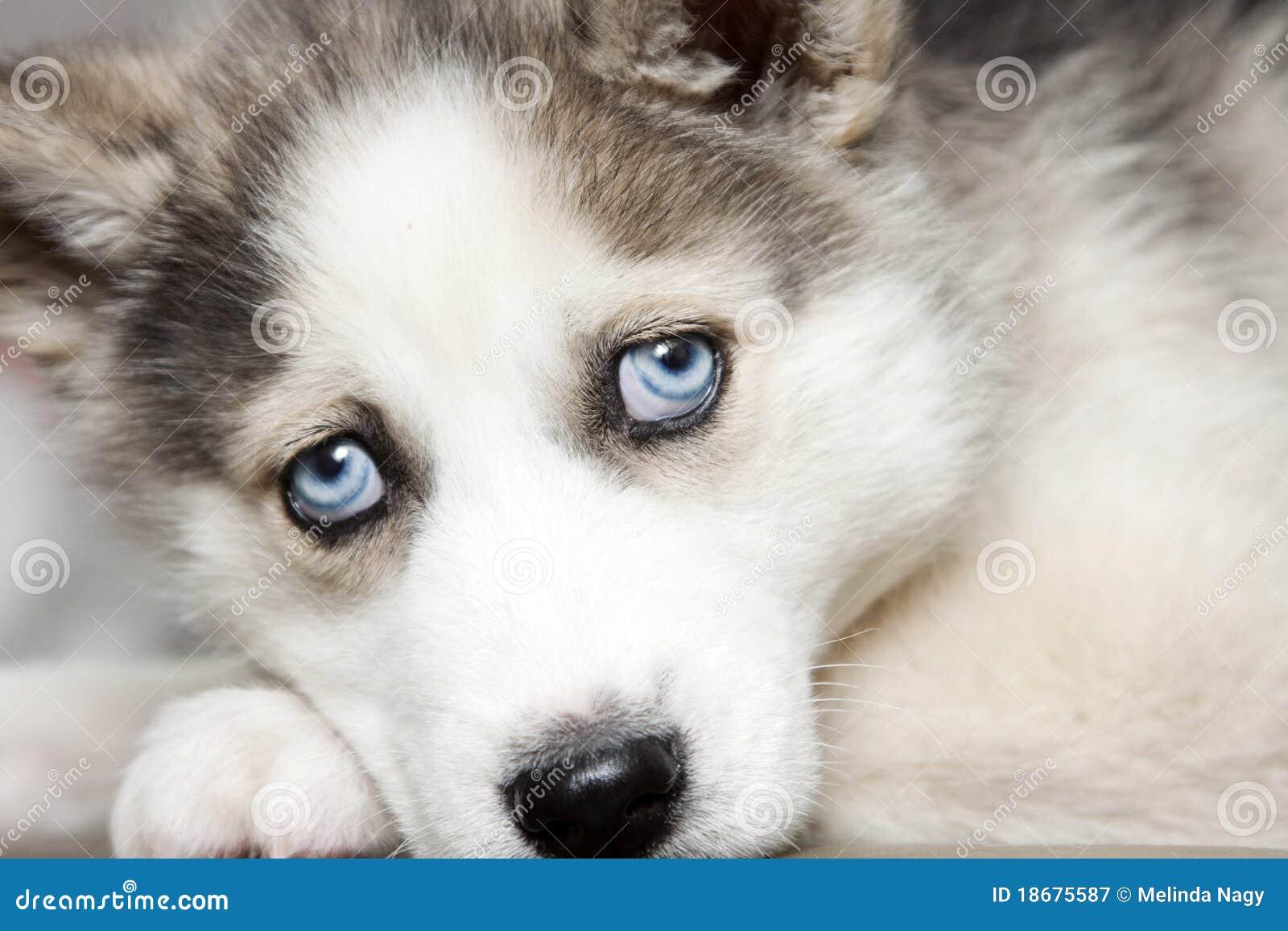 Blue Eyes Of Cute Siberian Husky Puppy Stock Image - Image